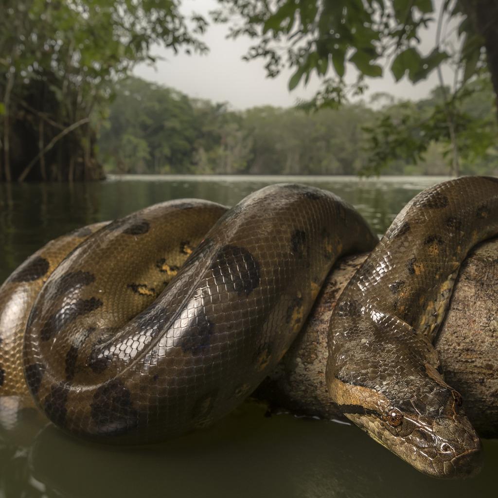 все огромная змея картинки лаптежниках стоял