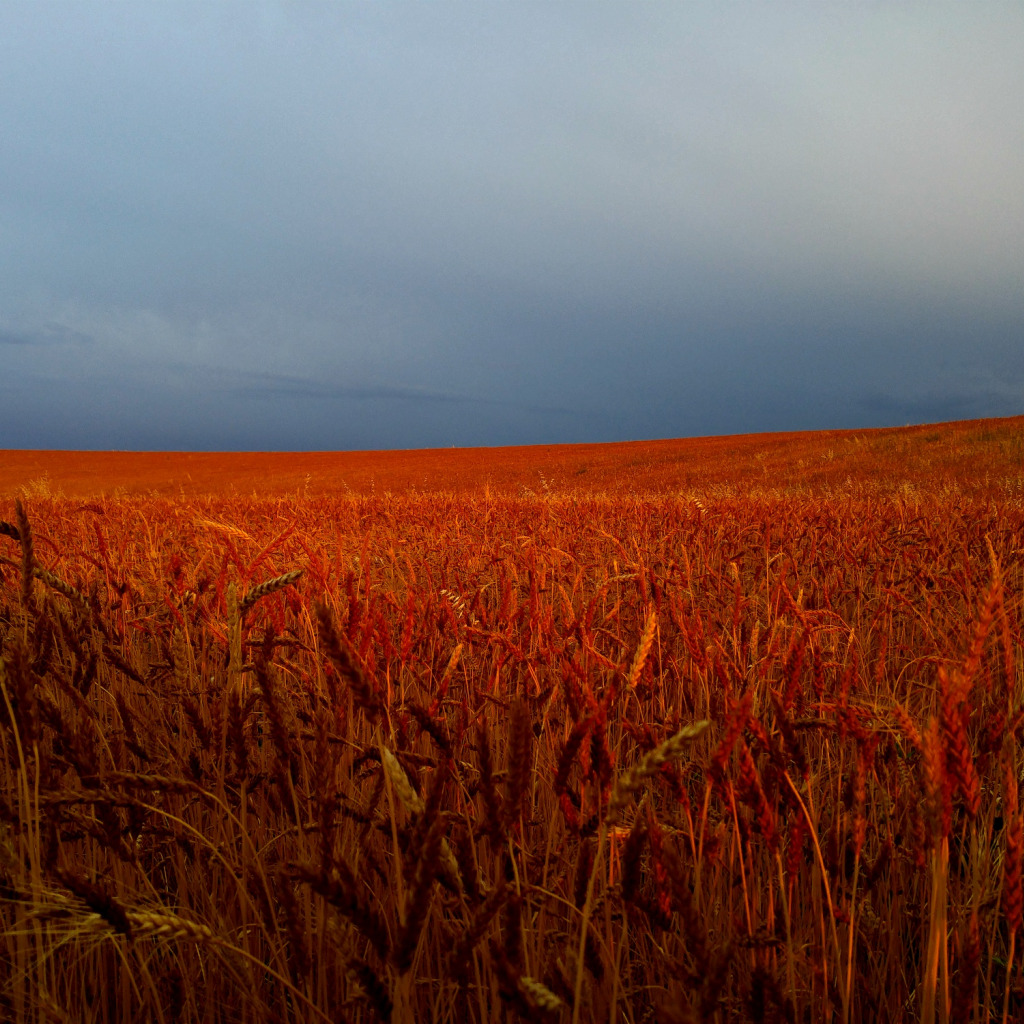любого красная пшеница фото грибы варятся, приготовим