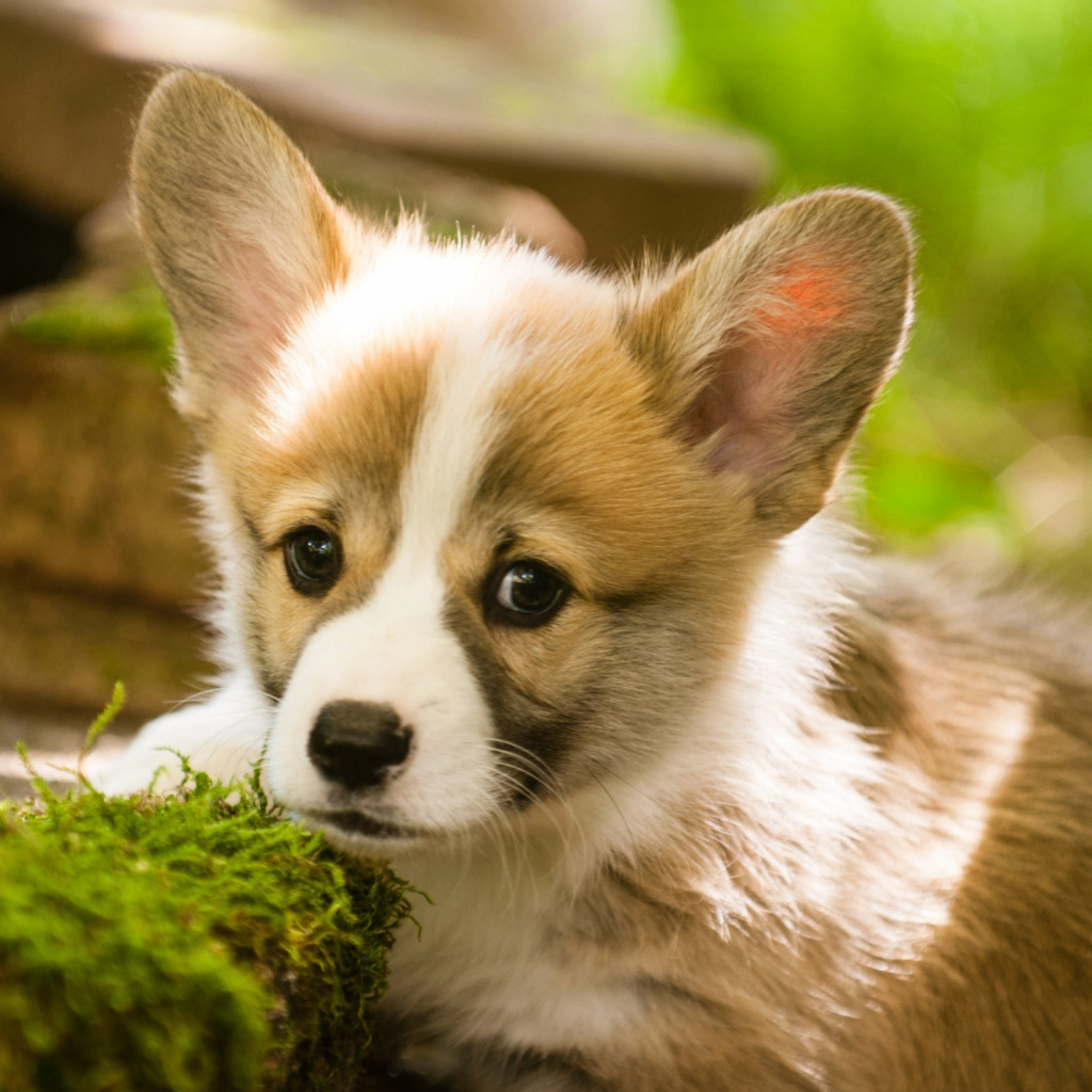 Купить щенка вельш корги пемброк с родословной недорого в питомнике в Москве, Санкт-Петербурге, Новосибирске, Екатеринбурге, Новгороде, Казани.