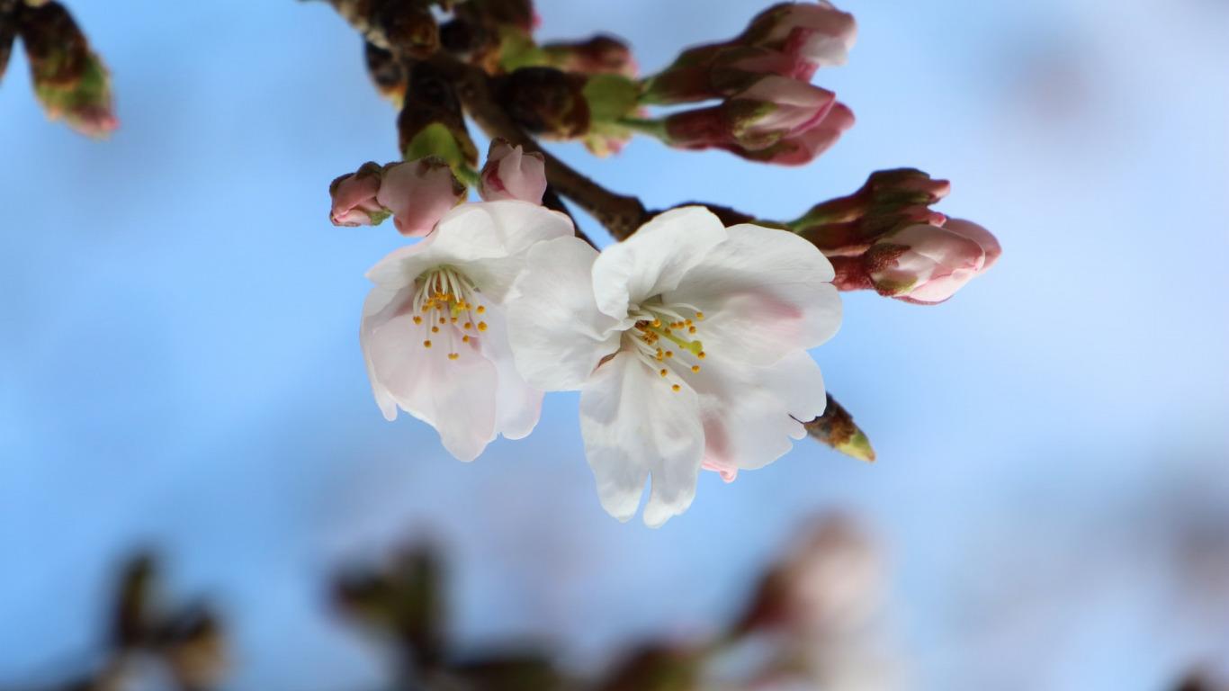 широкоформатные обои для рабочего стола цветы ромашки