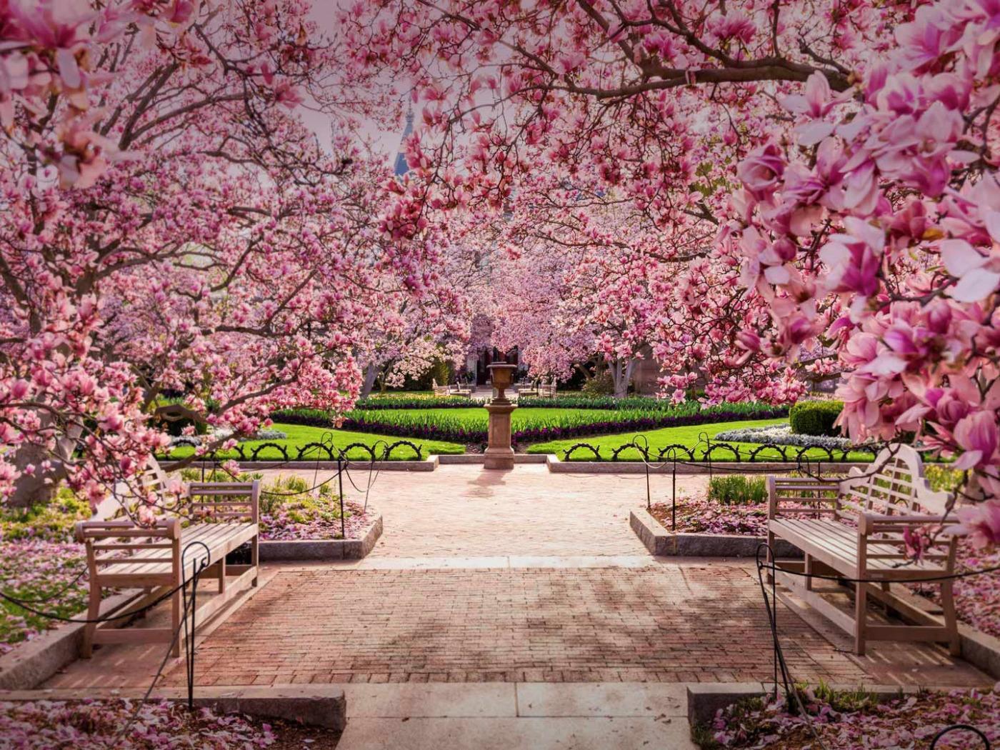 картинки с вишневым цветом вес