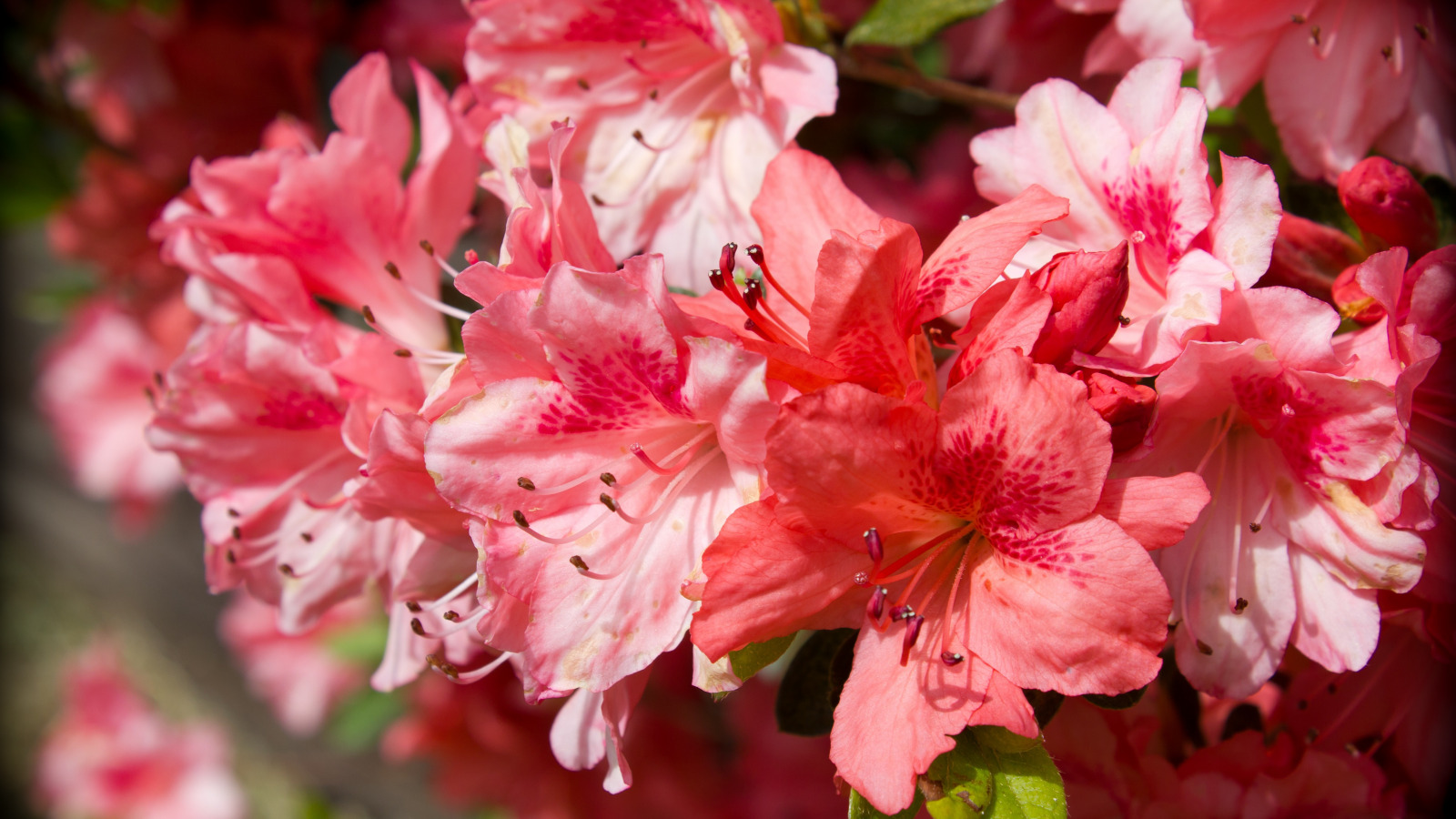 Картинки азалия цветок, для фото