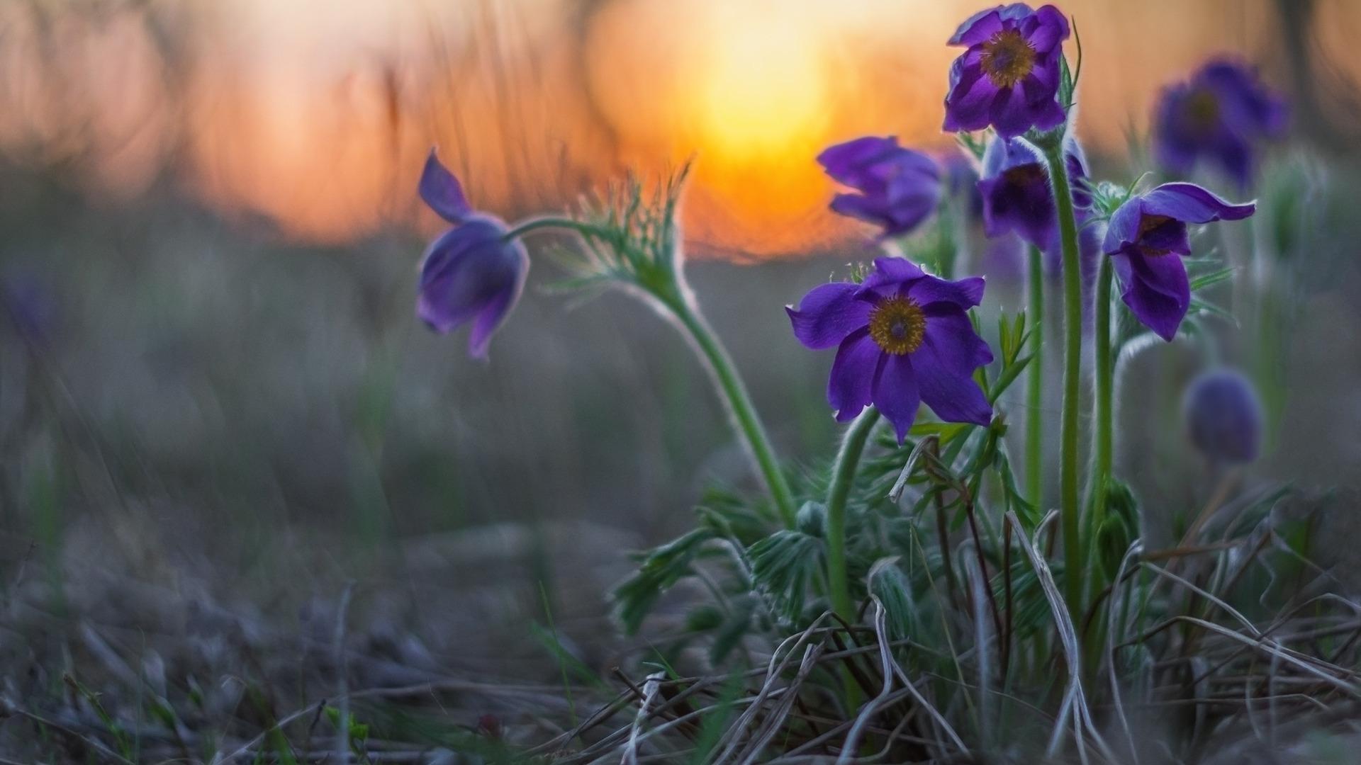 Картинка подснежника сон трава