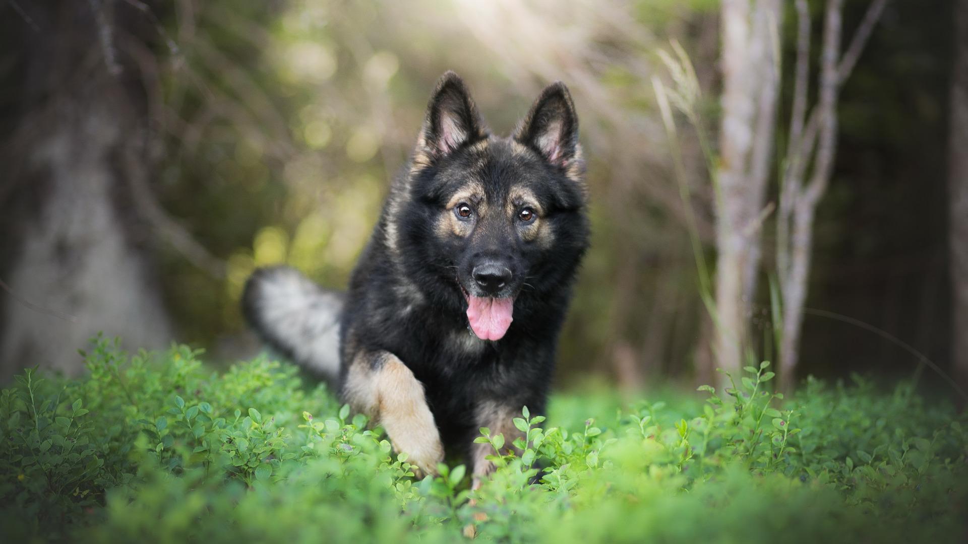 природа животные собака немецка овчарка nature animals dog the German shepherd  № 1004504 бесплатно