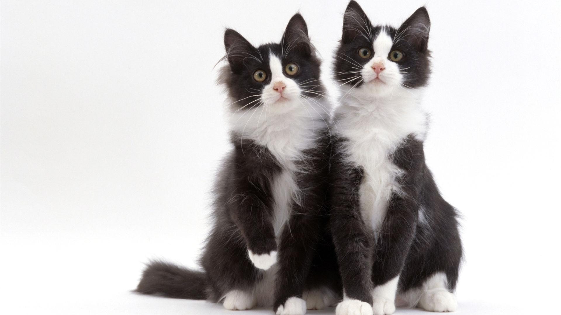 черный и белый котята на столе картинка земле девушку находит
