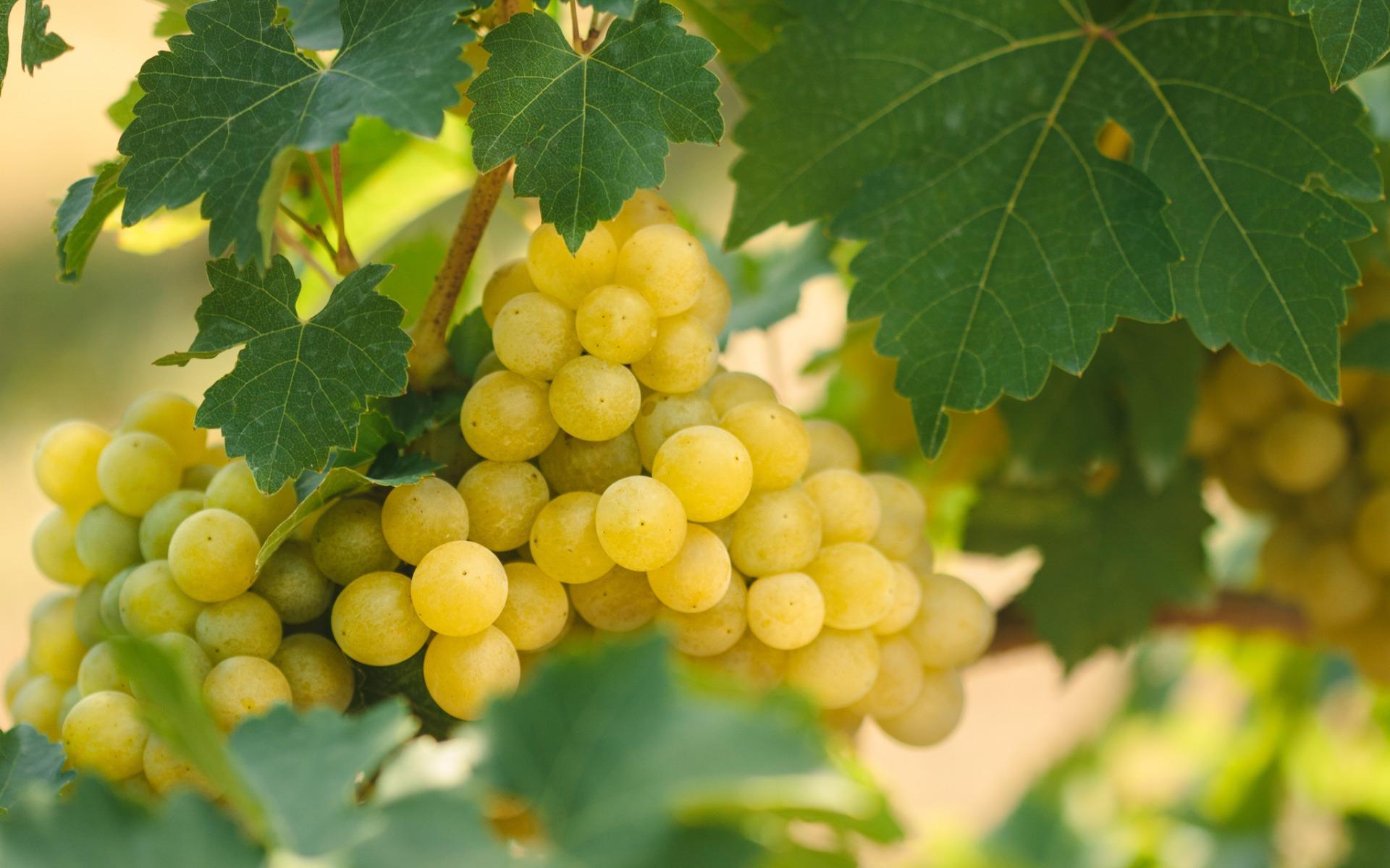 пара картинки куст винограда было
