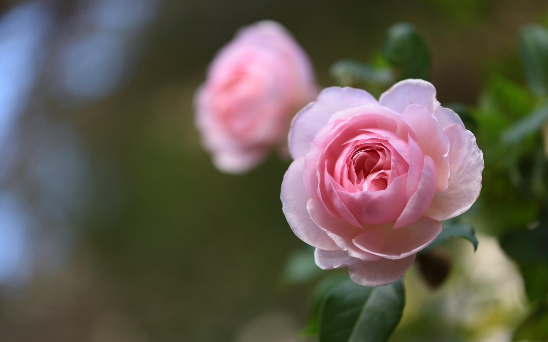 Увядшие розы говорят о том, что нет у вас единственно любимого.