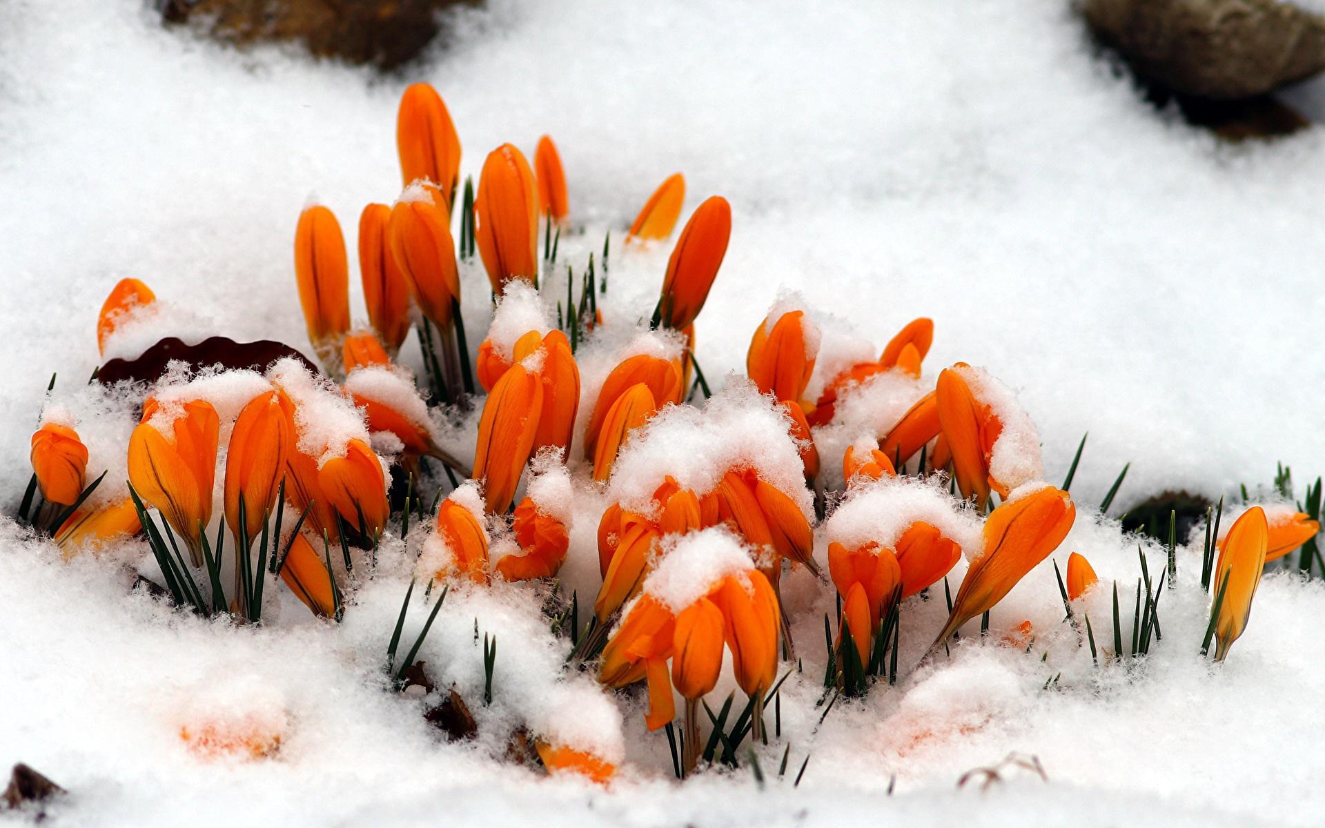 картинки на весь экран цветы под снегом сказала