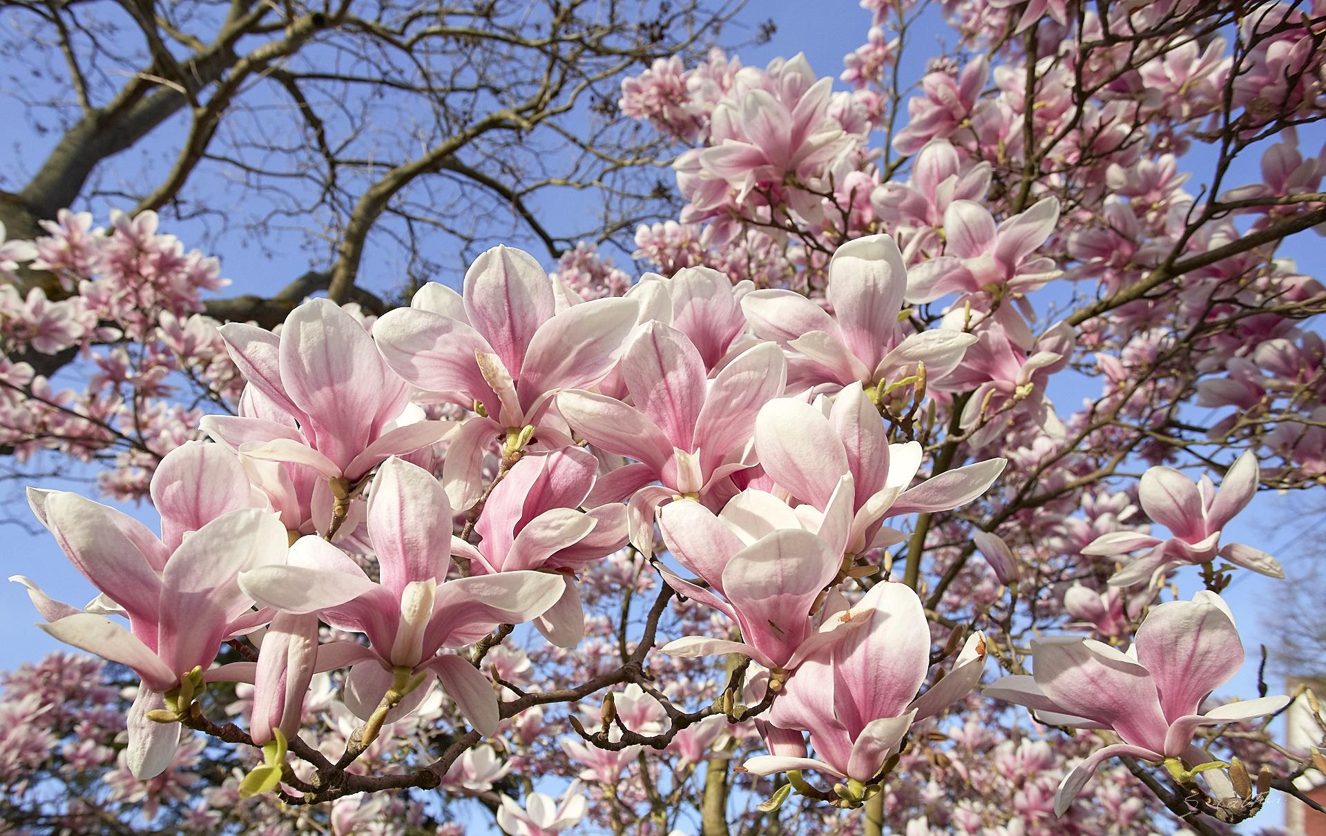 весенние цветущие деревья фото и названия том, что эти