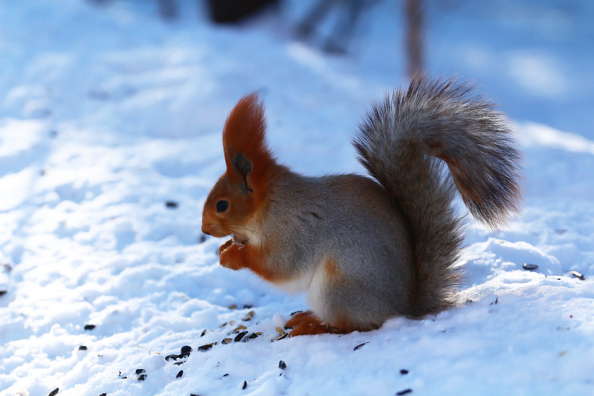 Белка в лесу зимой картинки