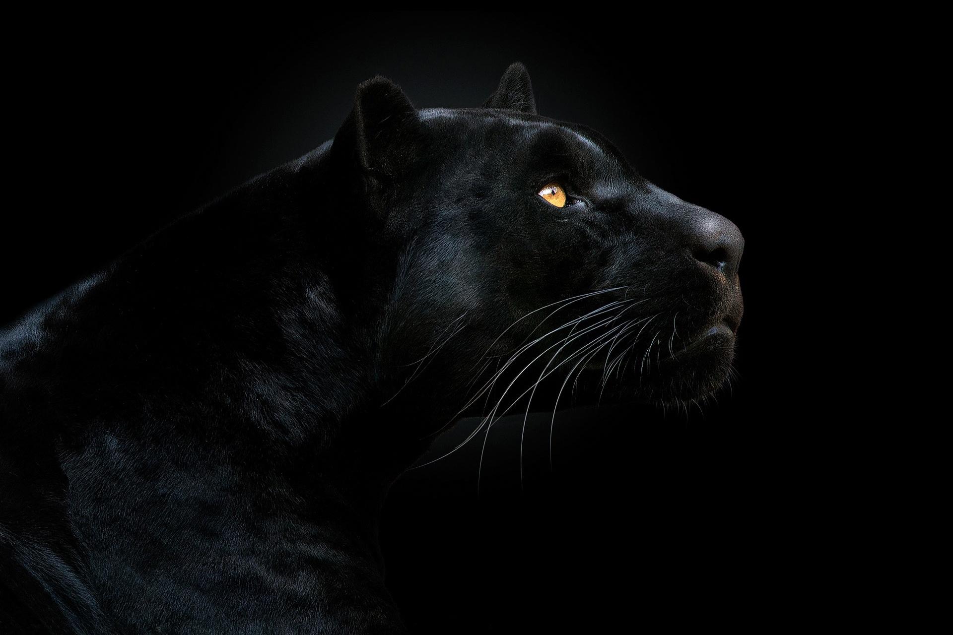 Дизайн фото пантера на черном фоне про
