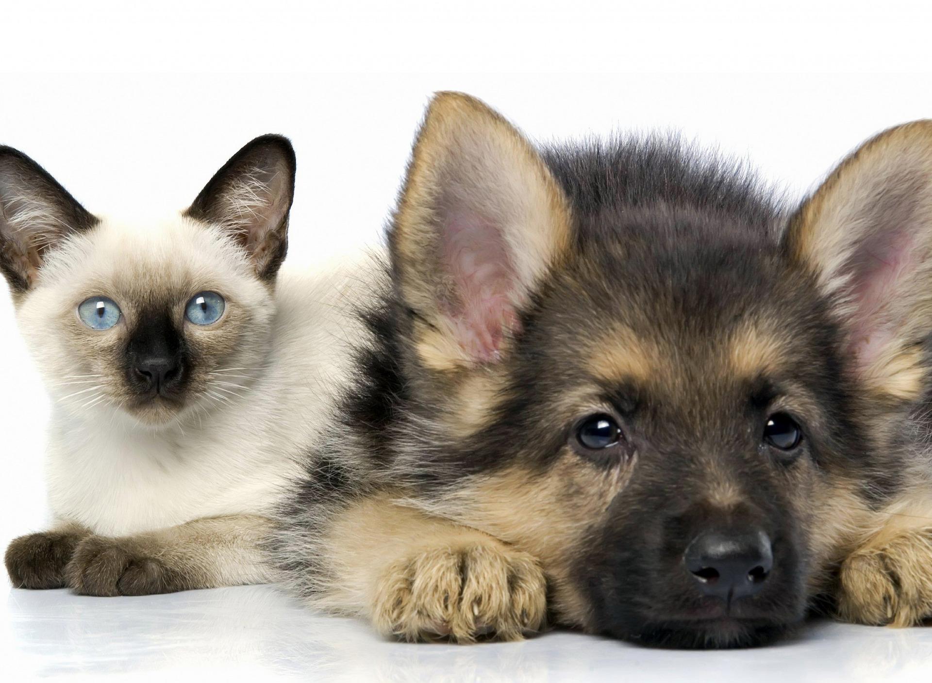 картинки для рабочего стола с домашними животными цей