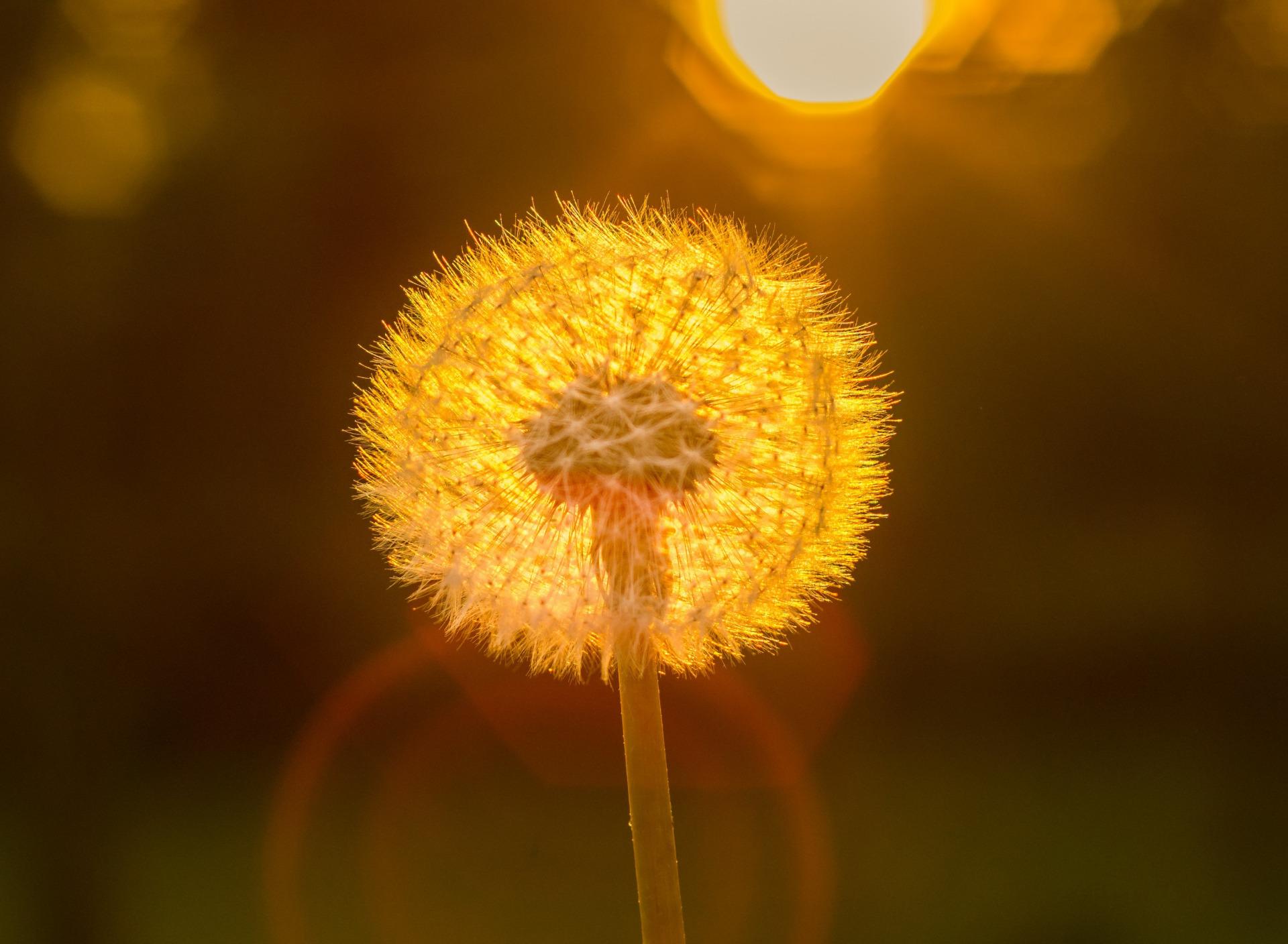 фото солнца через одуванчик