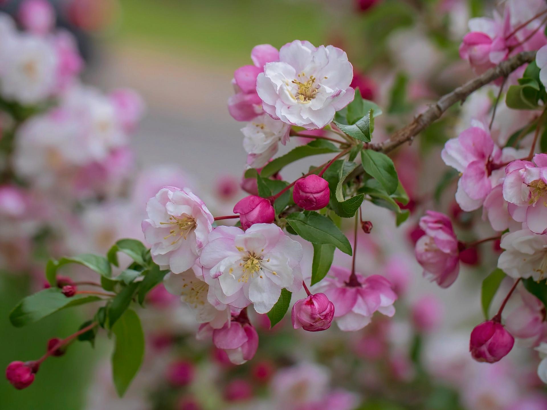 Яблоневый цвет картинка на рабочий стол