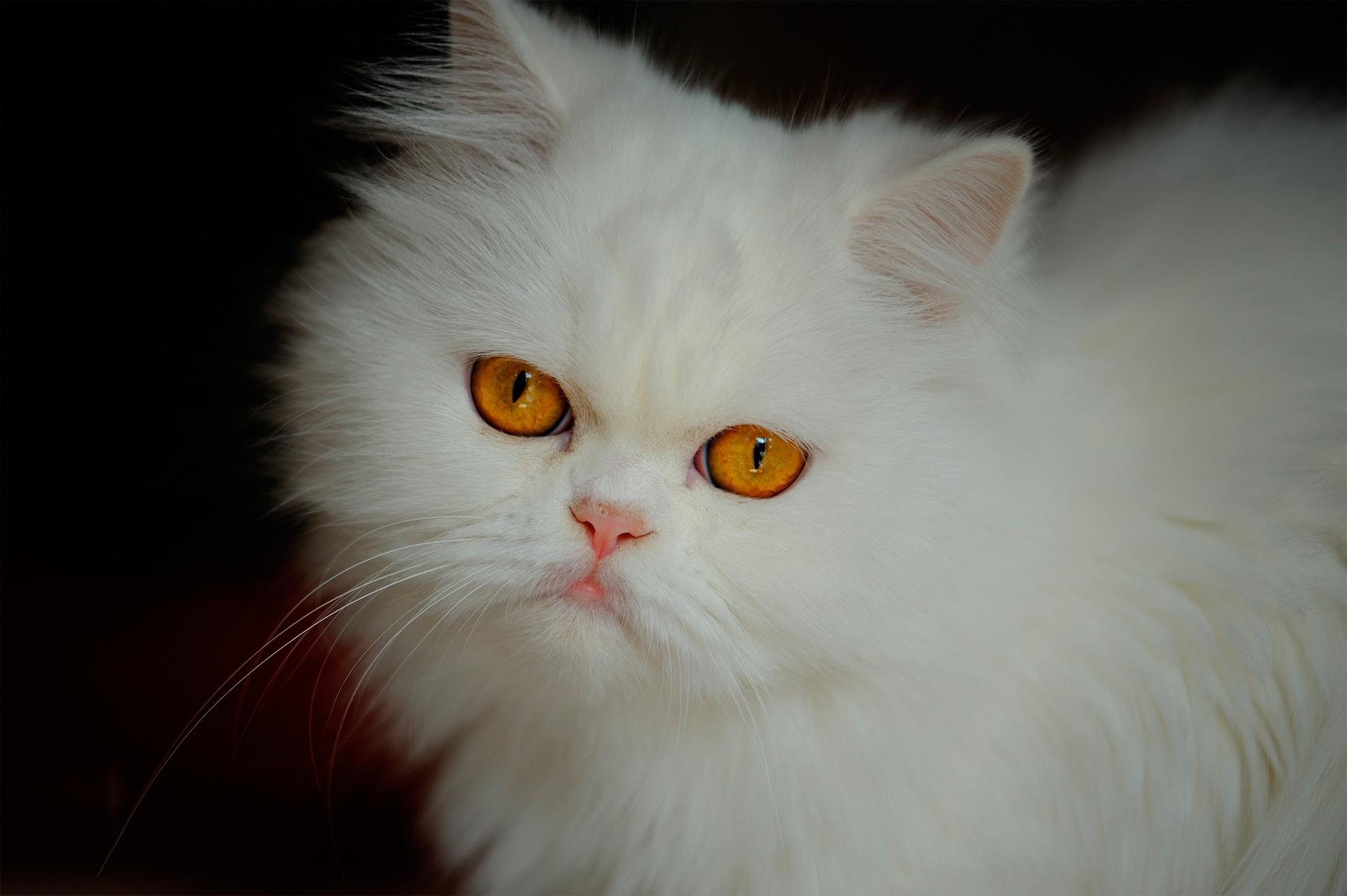 Картинки пушистых белых кошек