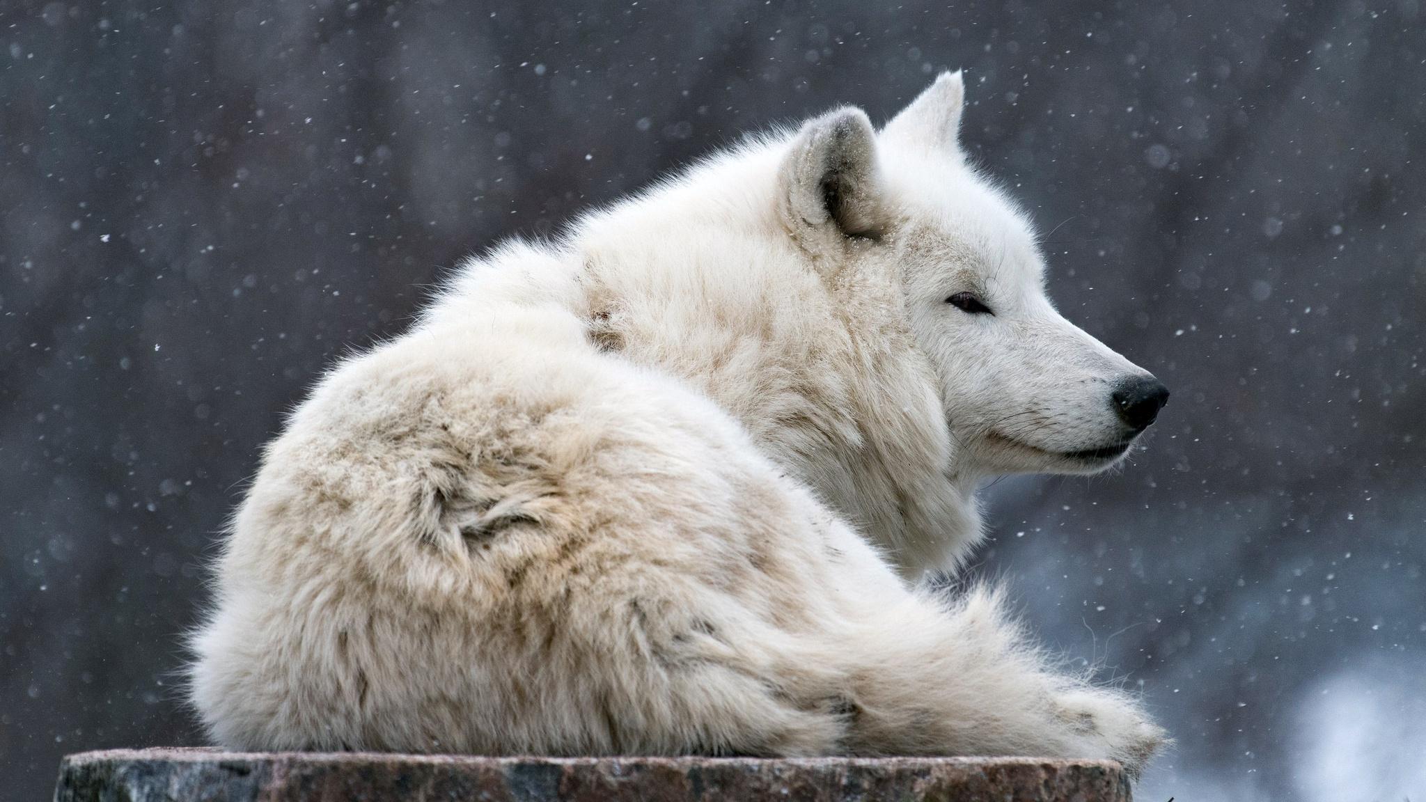https://img4.goodfon.ru/original/2048x1152/7/a3/arkticheskii-poliarnyi-vetki-goluboi-fon-morda-arkticheski-1.jpg