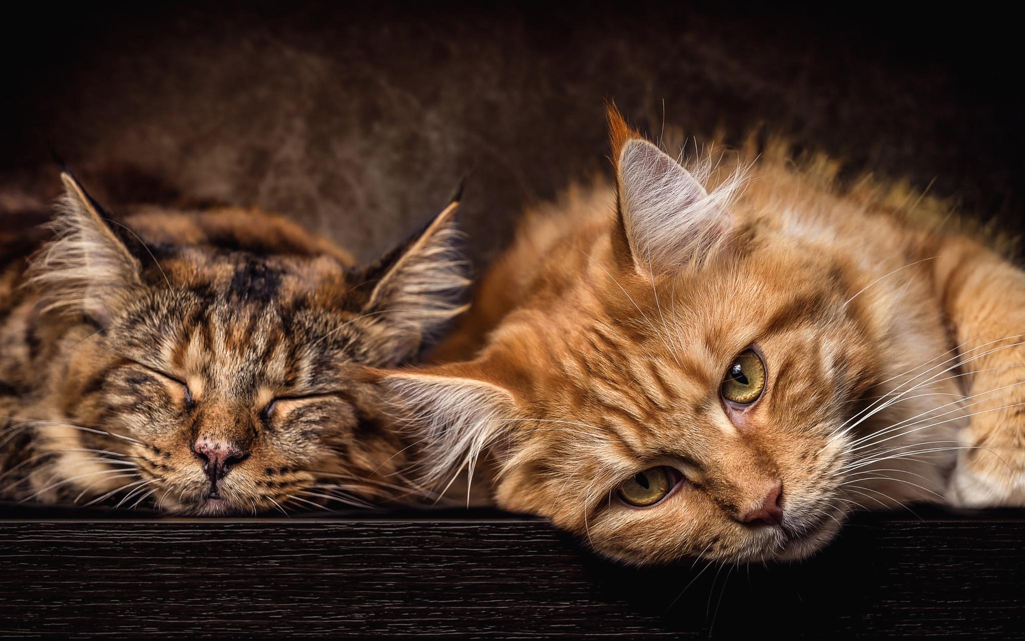 картинки рыжего и серого кота климат, максимум солнечных