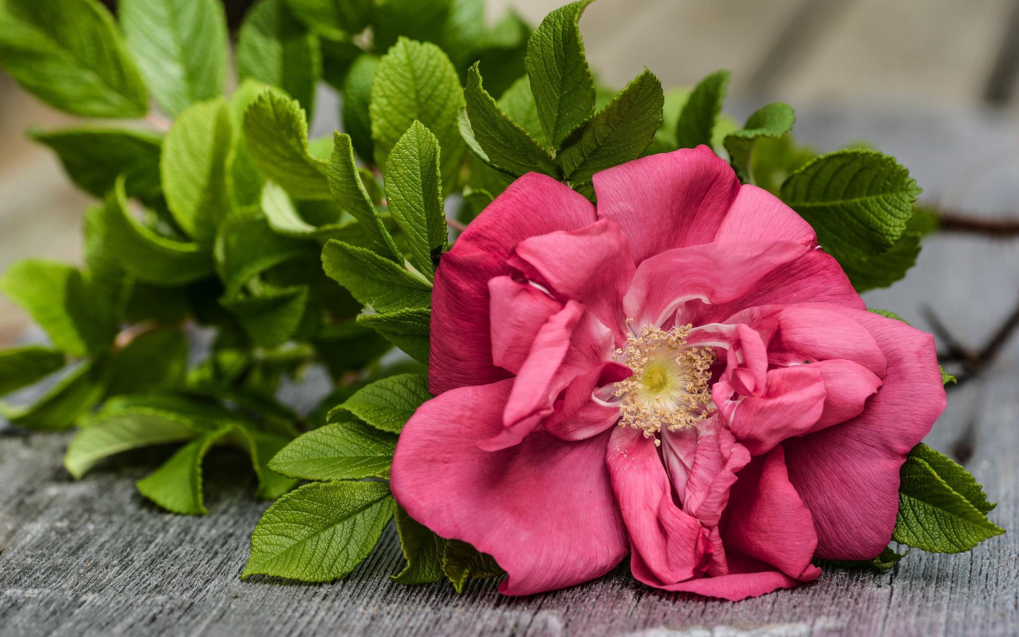роза,лепестки,листья  № 705661  скачать