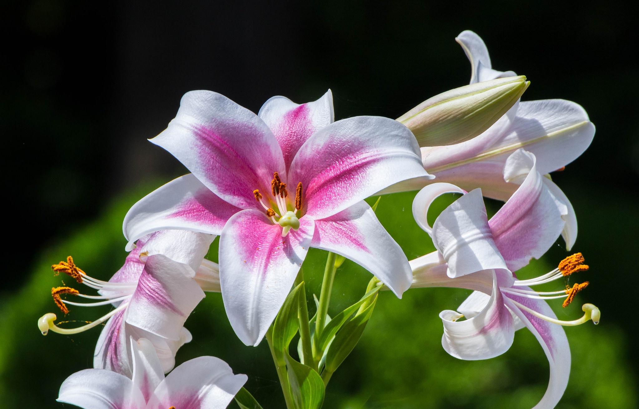 художественные фото цветы лилии стоят