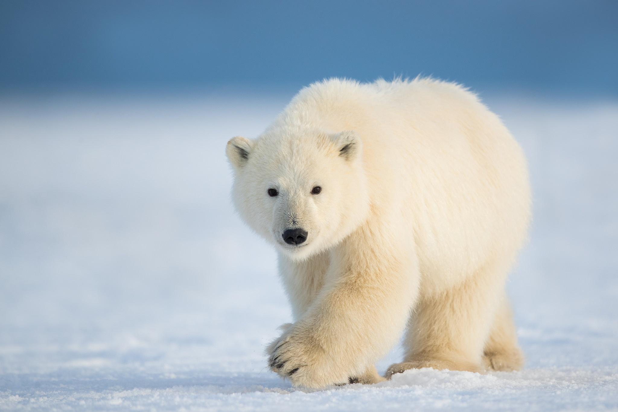 фото полярного медведя мебель