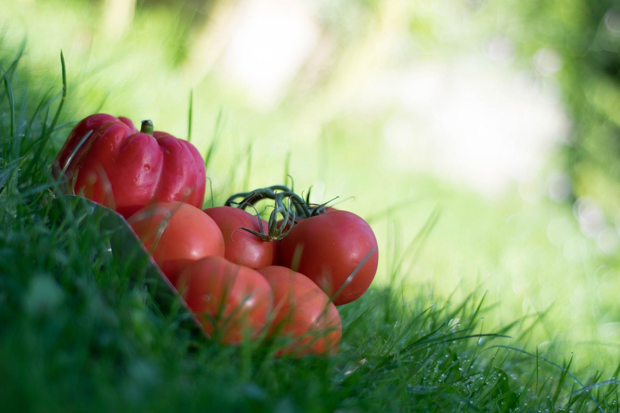 картинки помидоров растение для рабочего стола является просто центром
