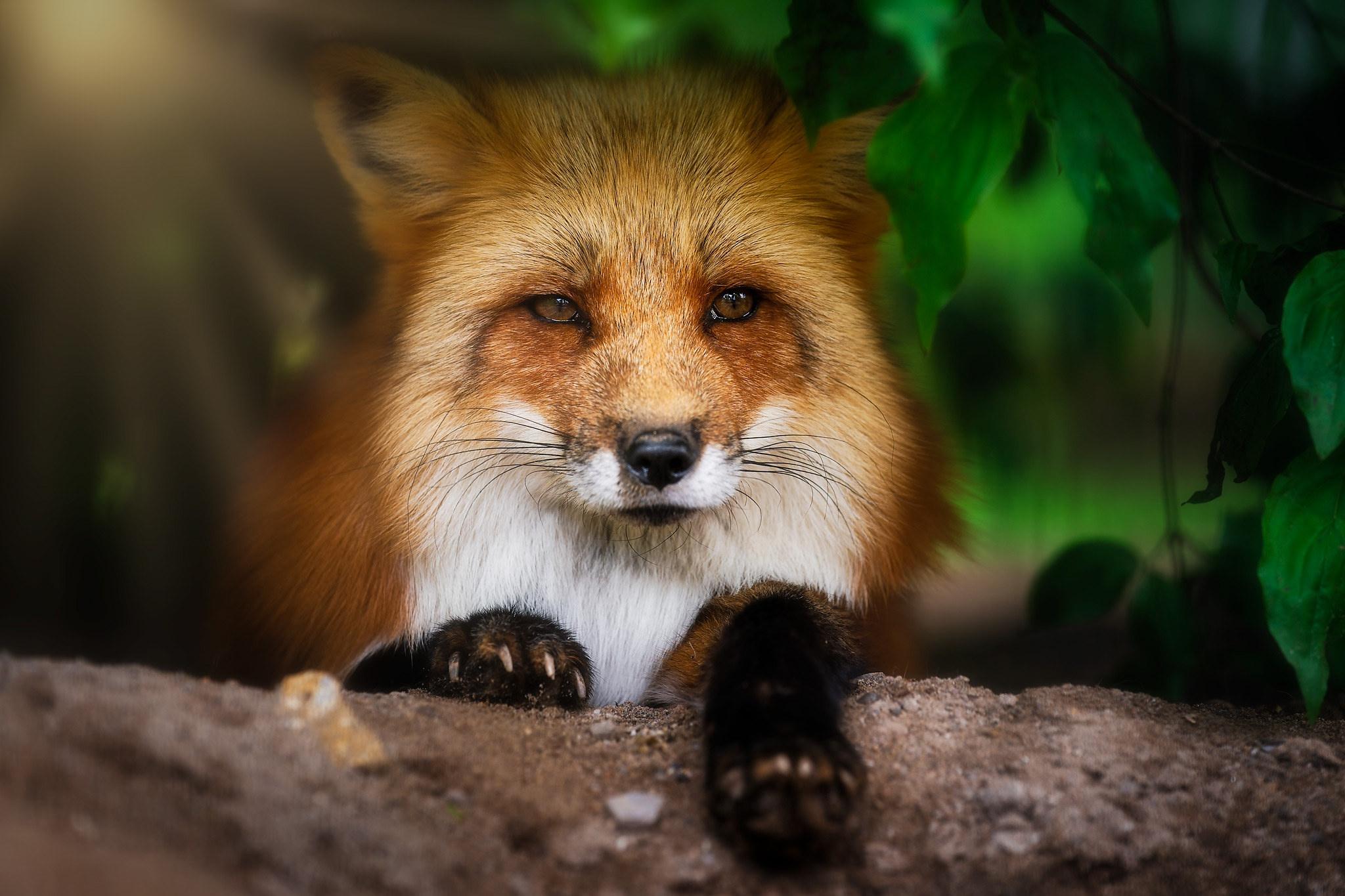 последнее красивое фото лисы в природе хотя судьба часто