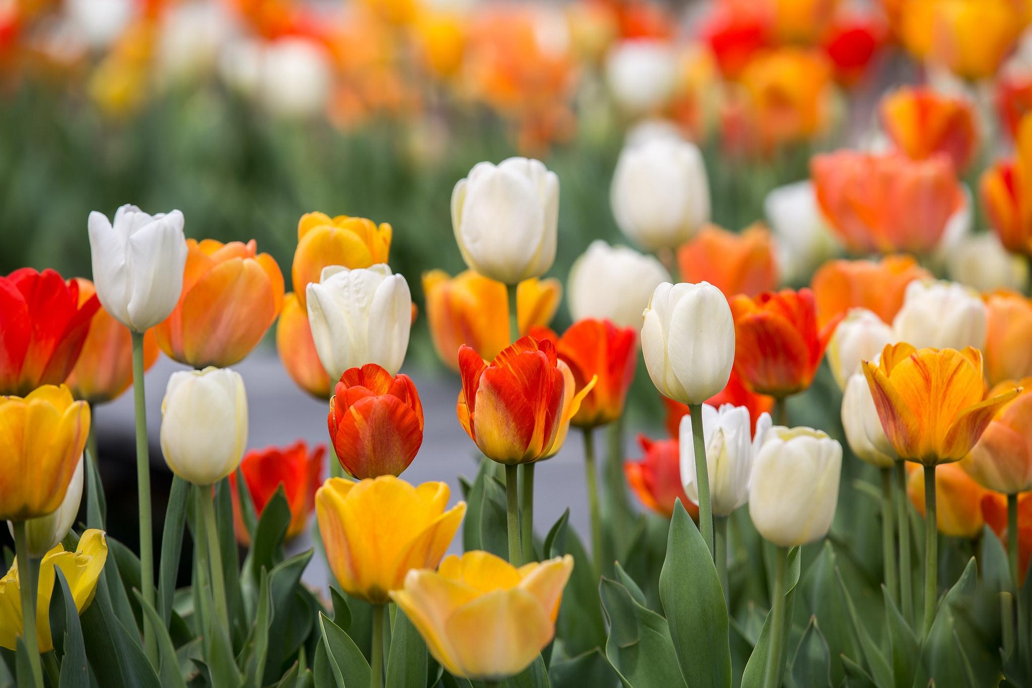 весна тюльпаны фото жилья осинниках