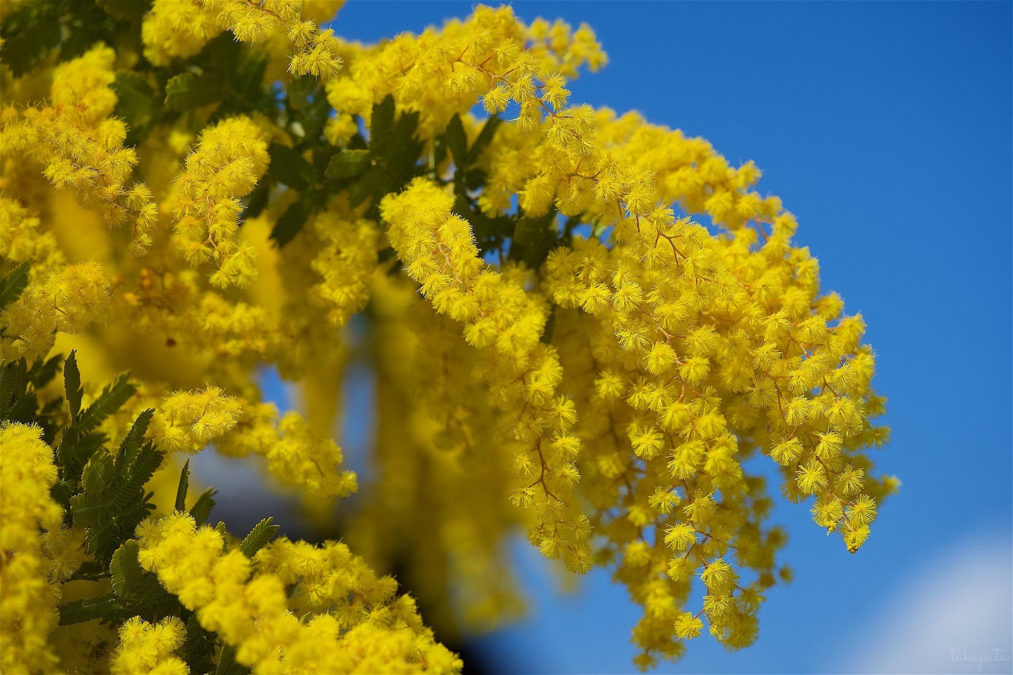Где купить дешевые цветы мимозы