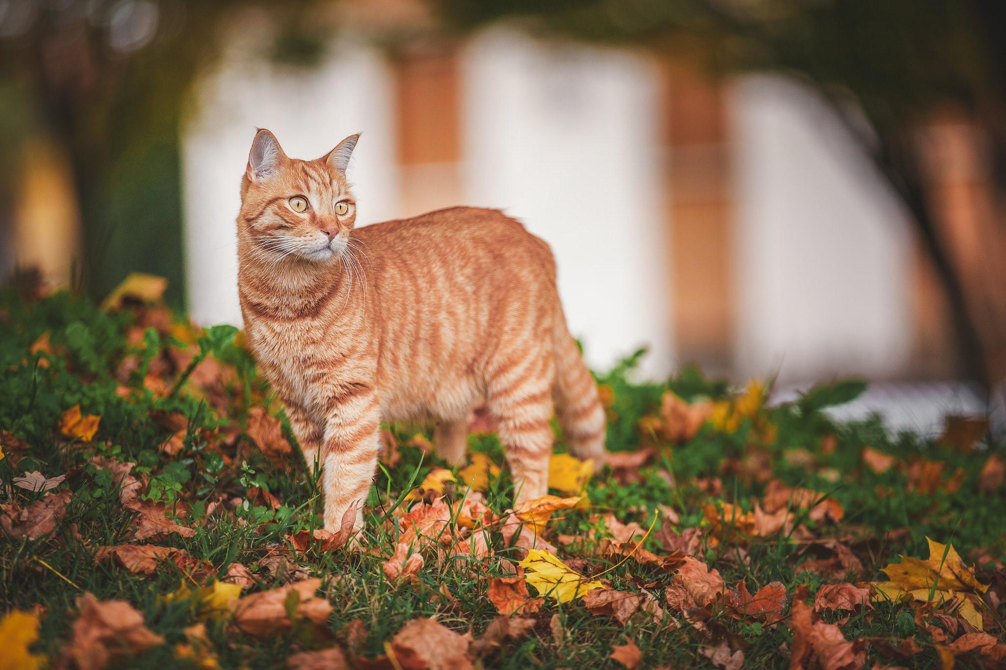 кошка осень листва  № 3898553 без смс