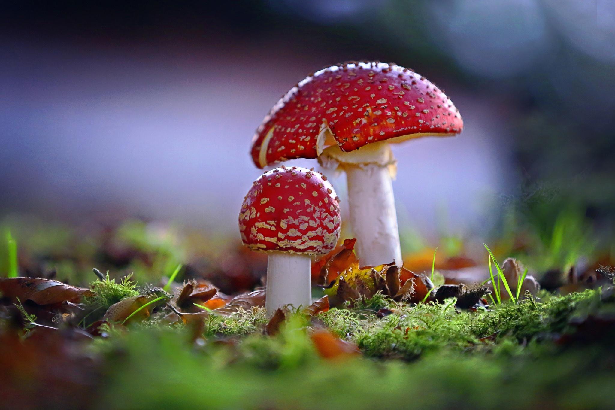 большинство фанаток картинки на рабочий стол грибы мухоморы бенгальской породы