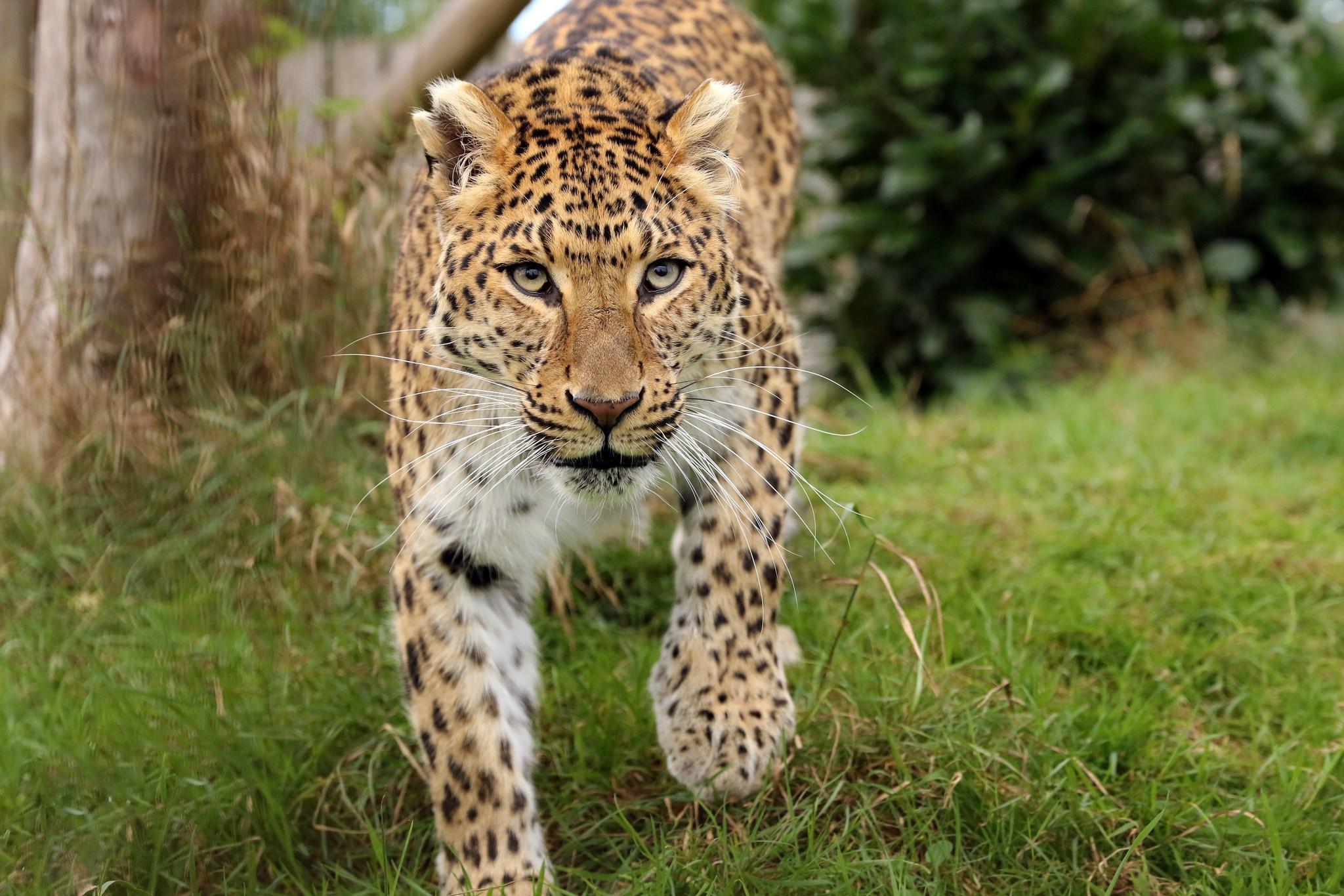 Фото леопарда в природе