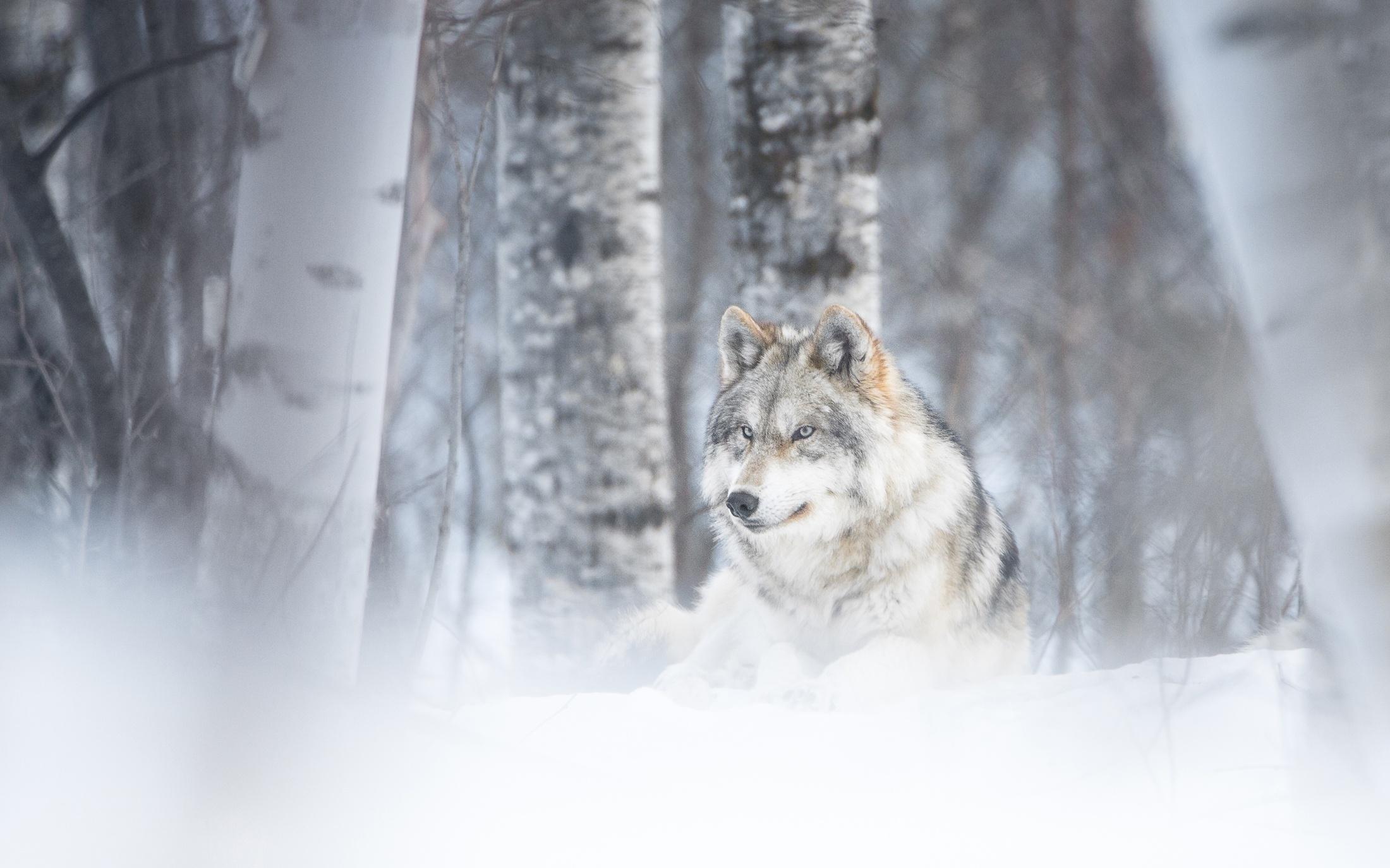 как картинка лес волк снег моему мнению