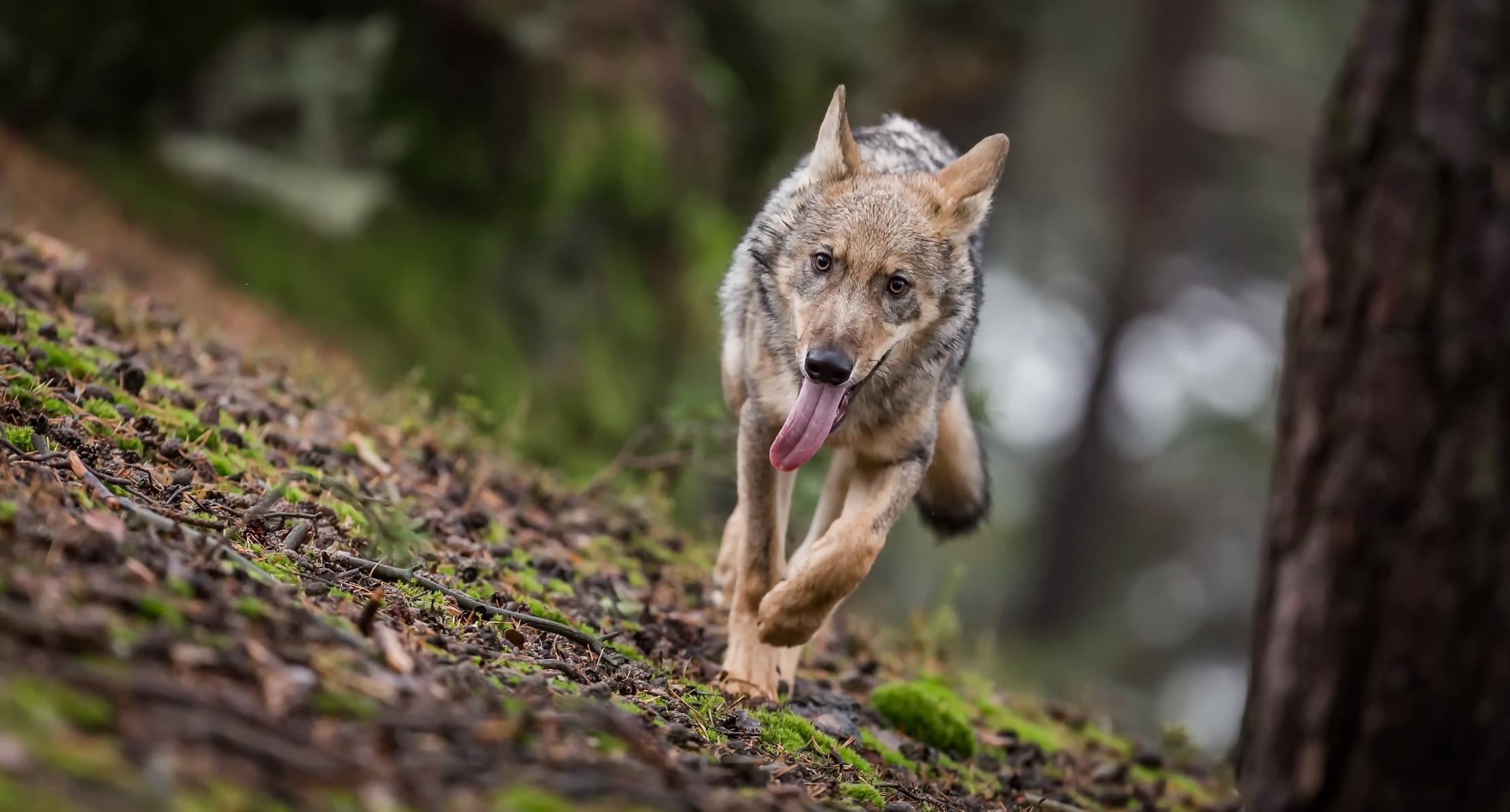 купольные строения волки в лесах картинки фото аксессуар оставался