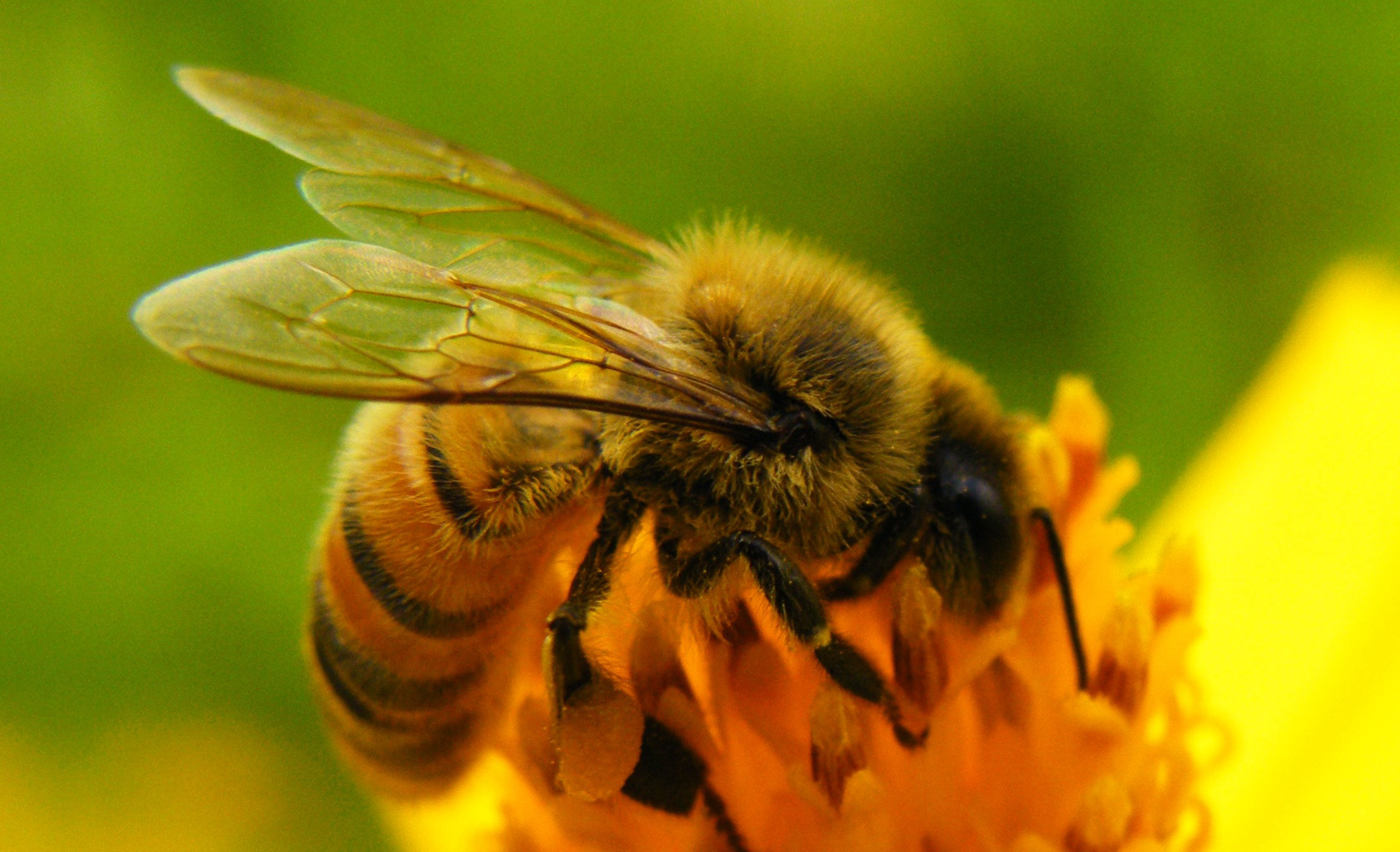 Картинки красивые пчелы