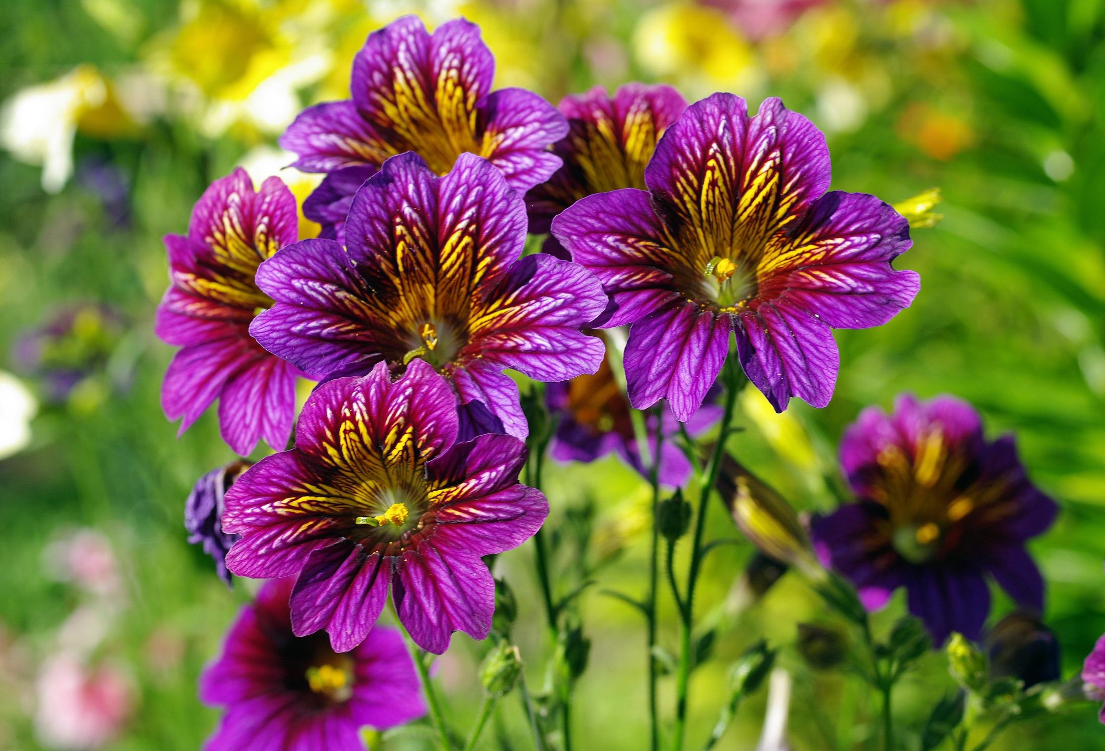 для полной сальпиглоссис выращивание из семян фото номера