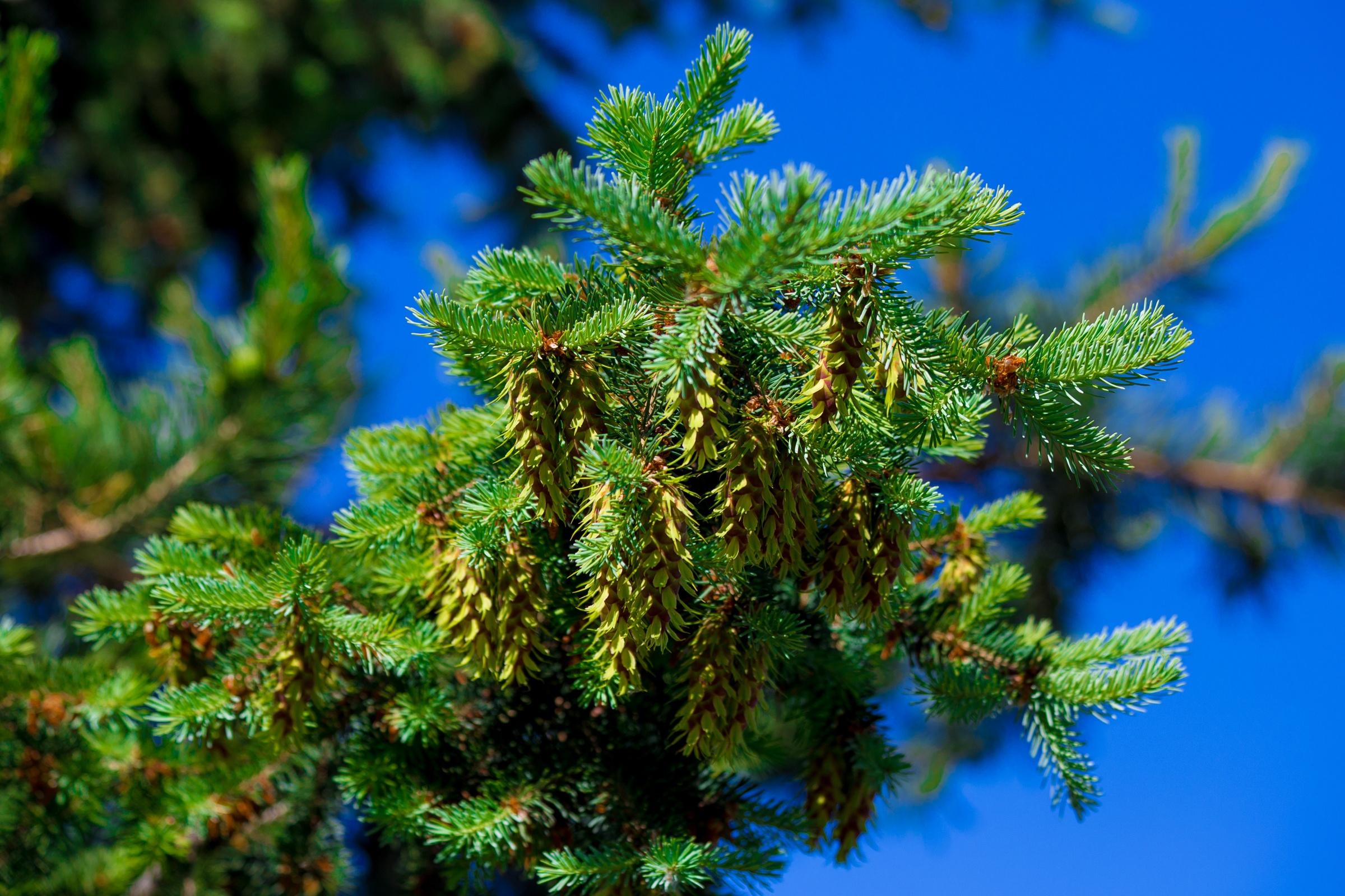 природа деревья ель  № 316123  скачать