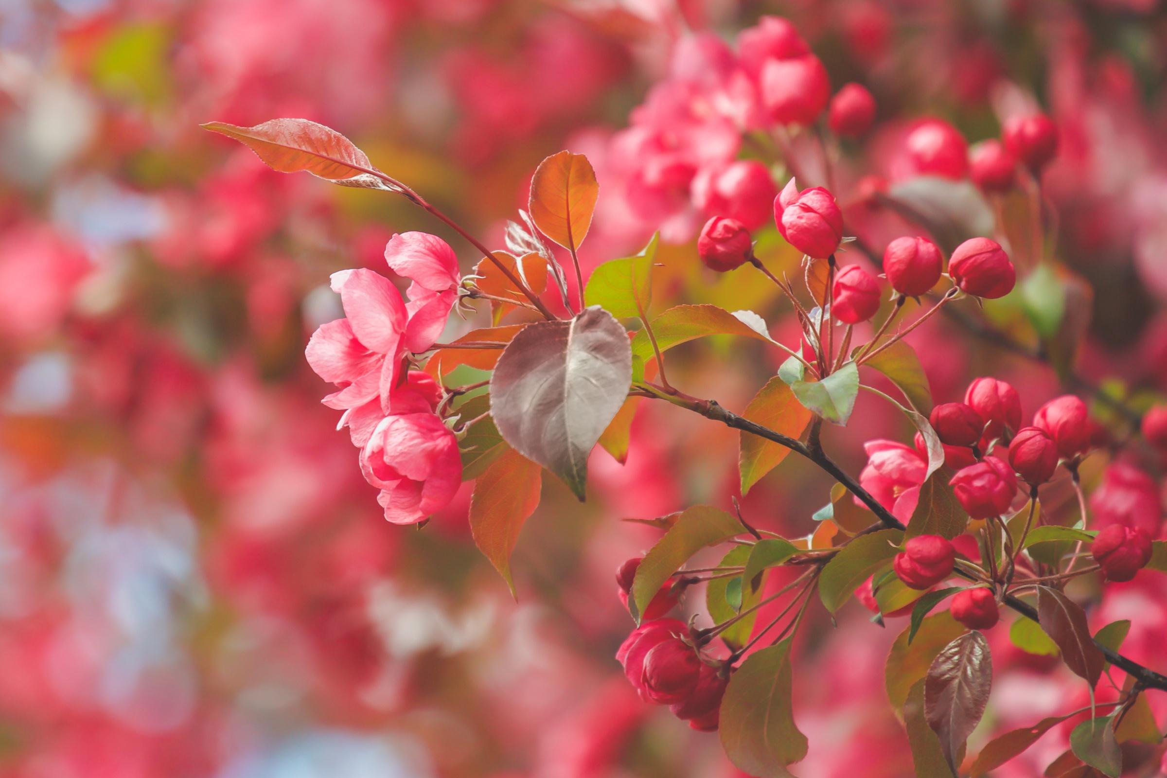 обои для рабочего стола цветущие яблони № 239670 загрузить