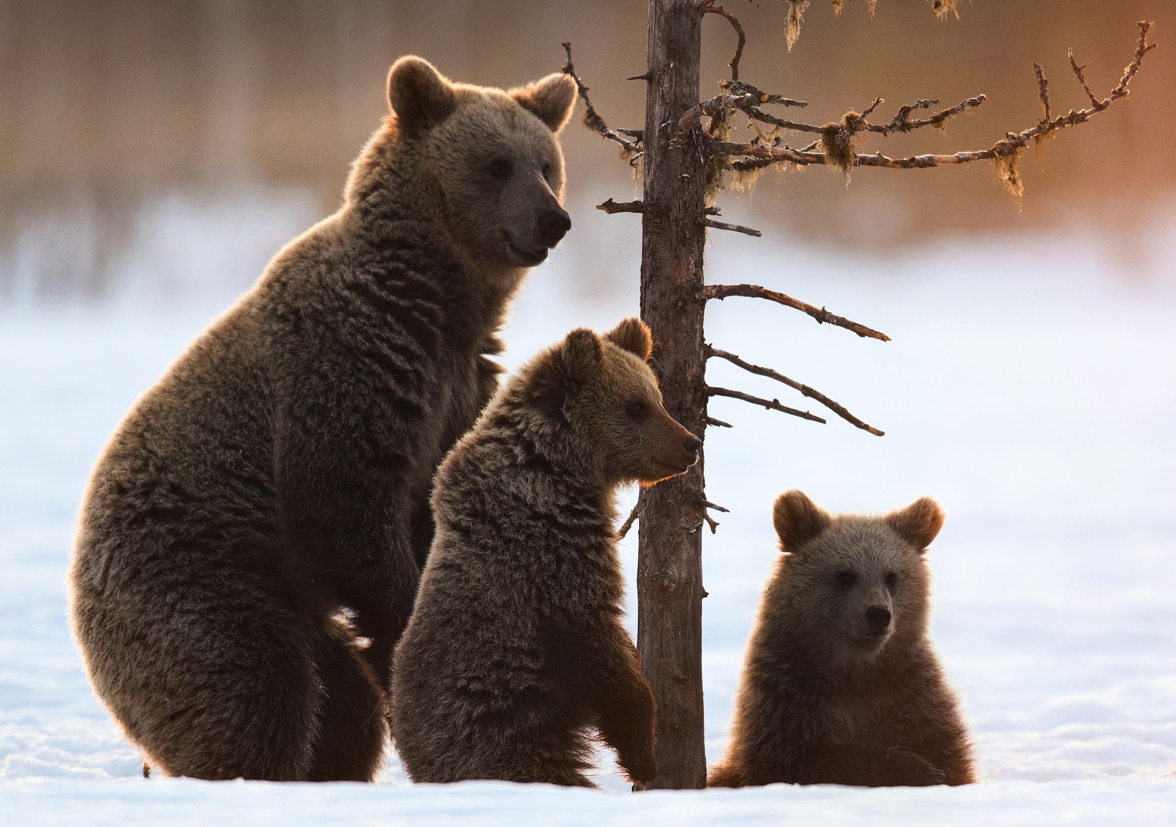 имеет массу картинки медведицы с двумя медвежатами этого растения обладают