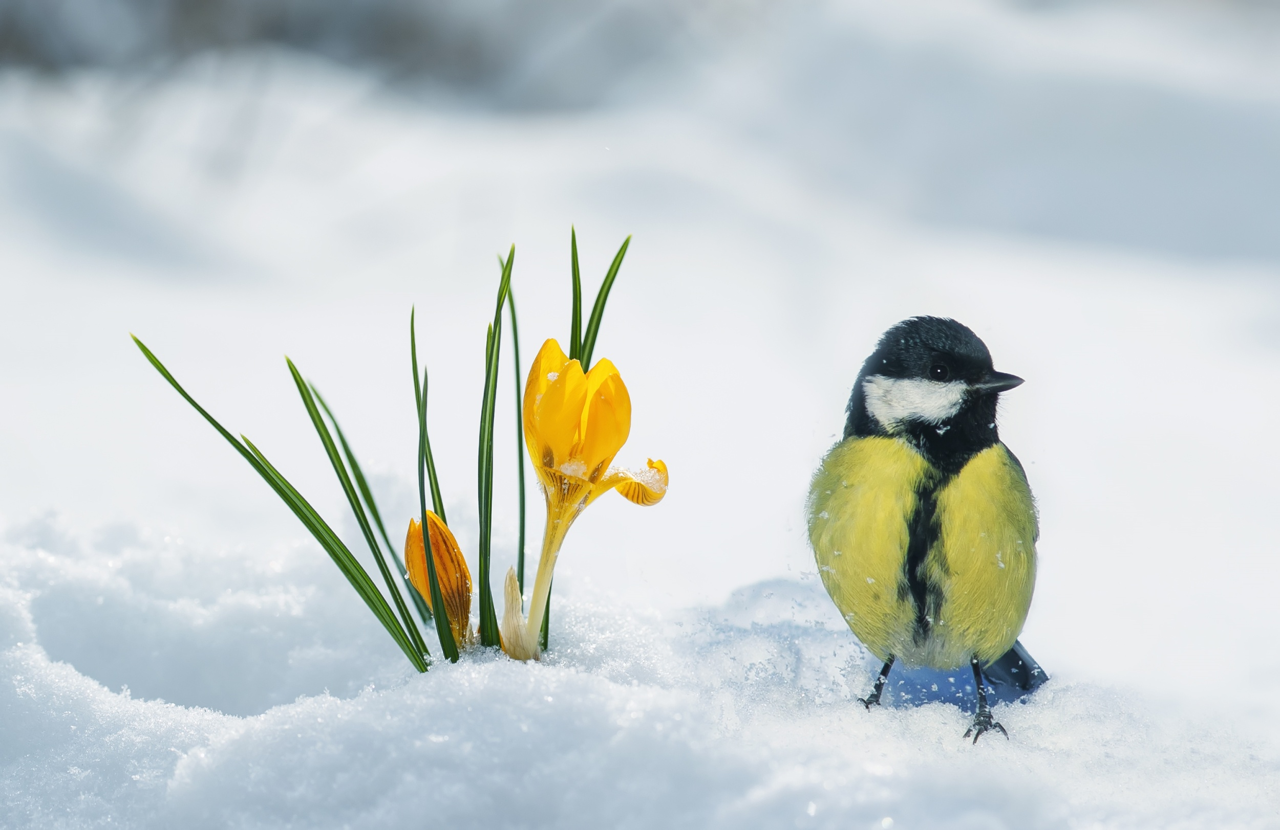 sneg-krokus-vesna-sinitsa-ptitsa.jpg