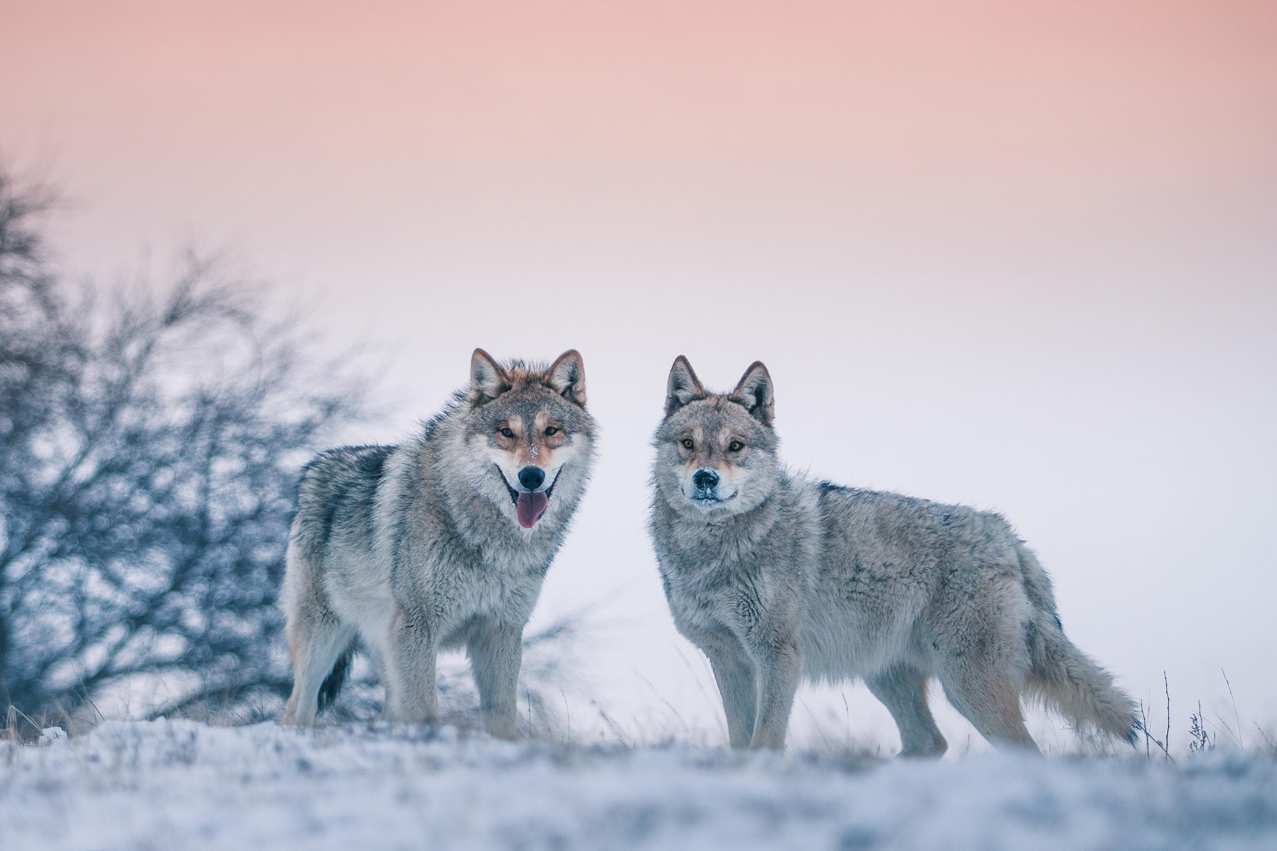 Волчица зимой картинки