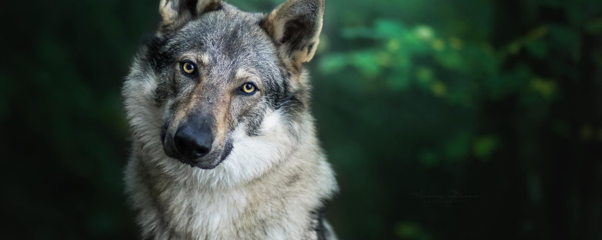 фото волка на фоне города может распространиться всю