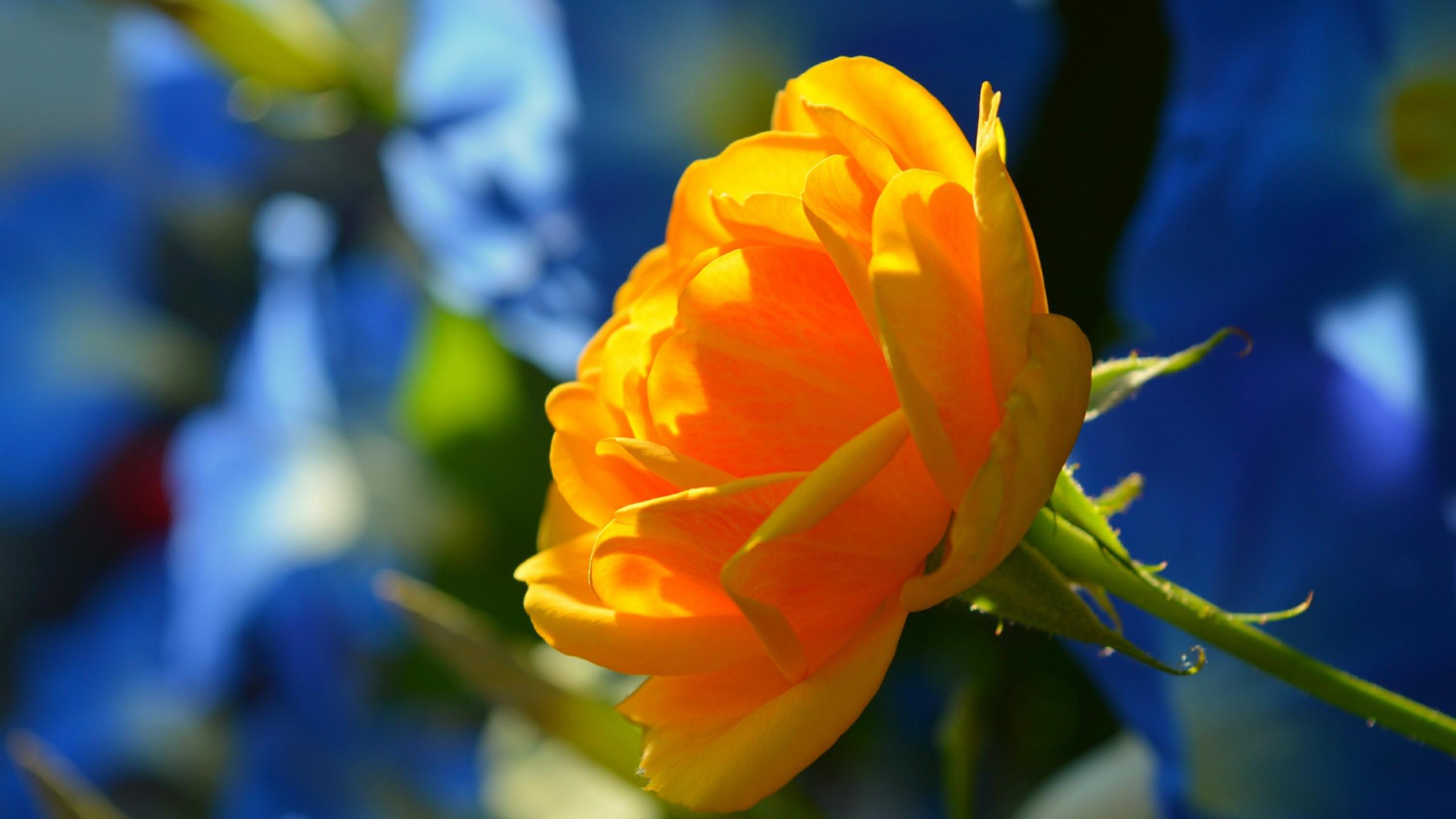 желтые розы на фоне солнца фото