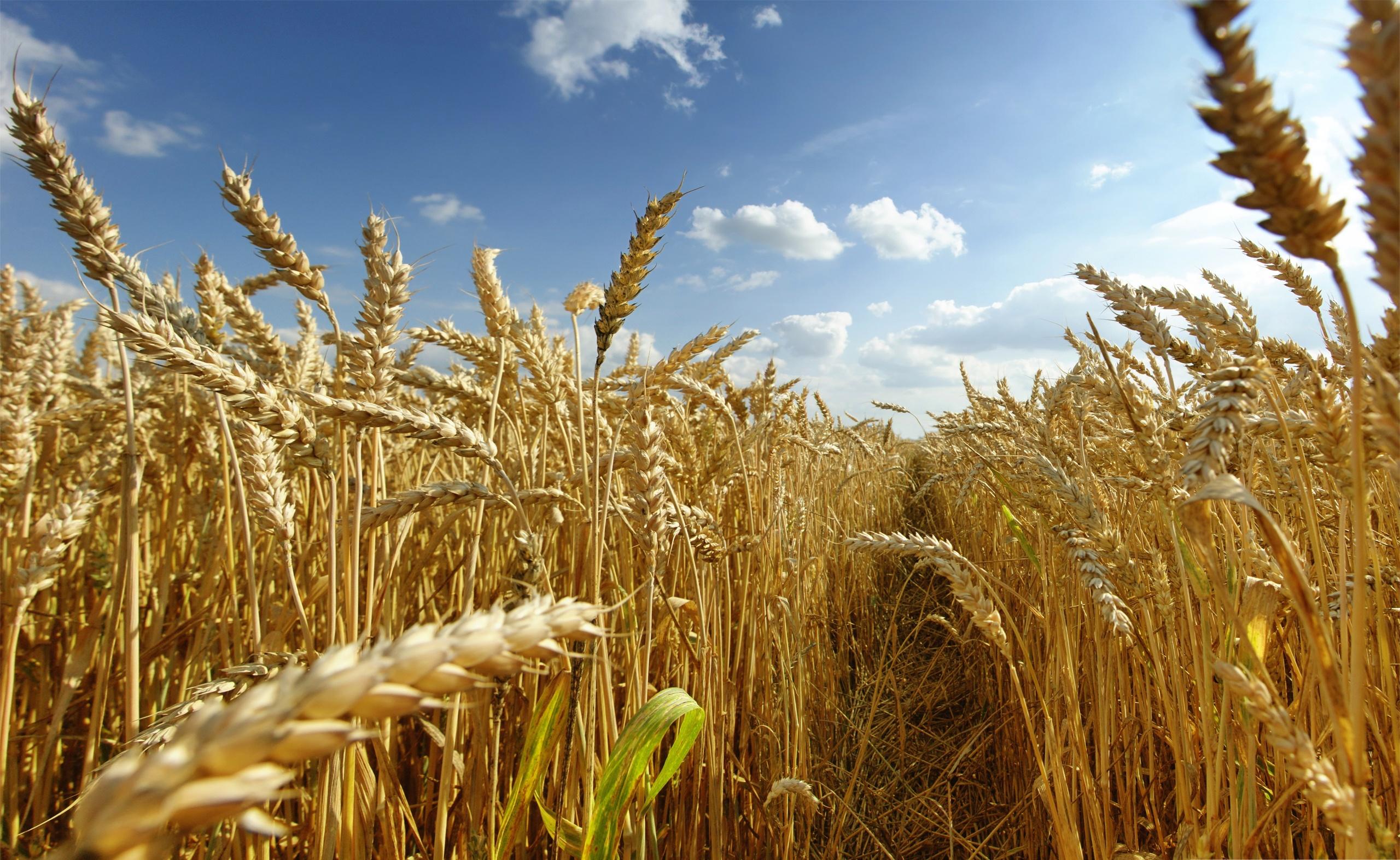 Фунгициды для обработки посевов пшеницы - Быт