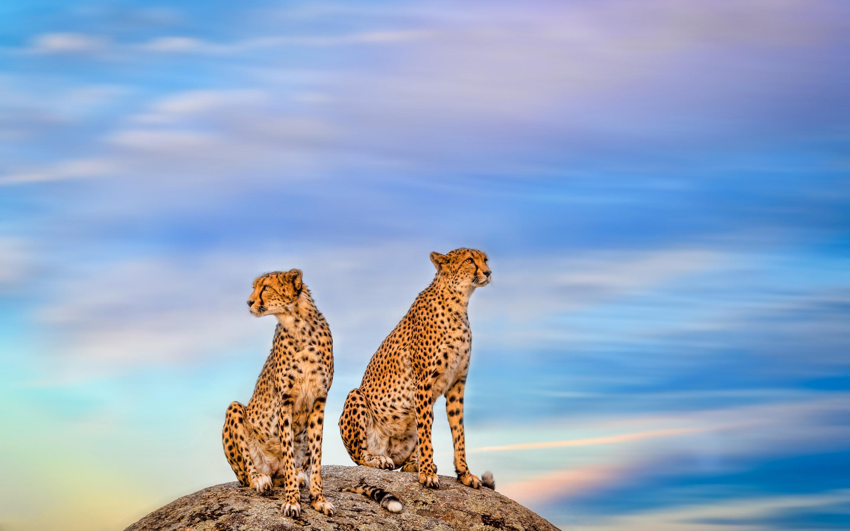 Затаившийся гепард  № 699222 бесплатно