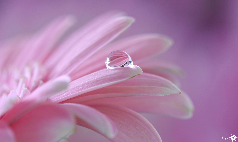 цветы макро розовые  № 1347125 загрузить