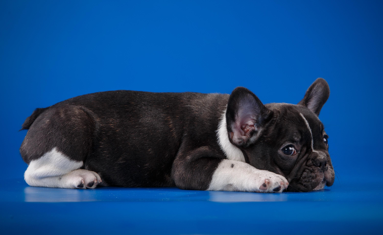 Собака животное французский бульдог  № 2228207 бесплатно