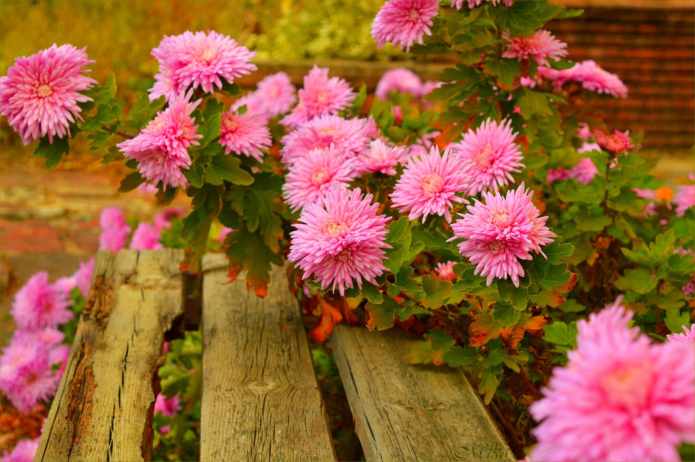 картинки на телефон красивые осенние цветы