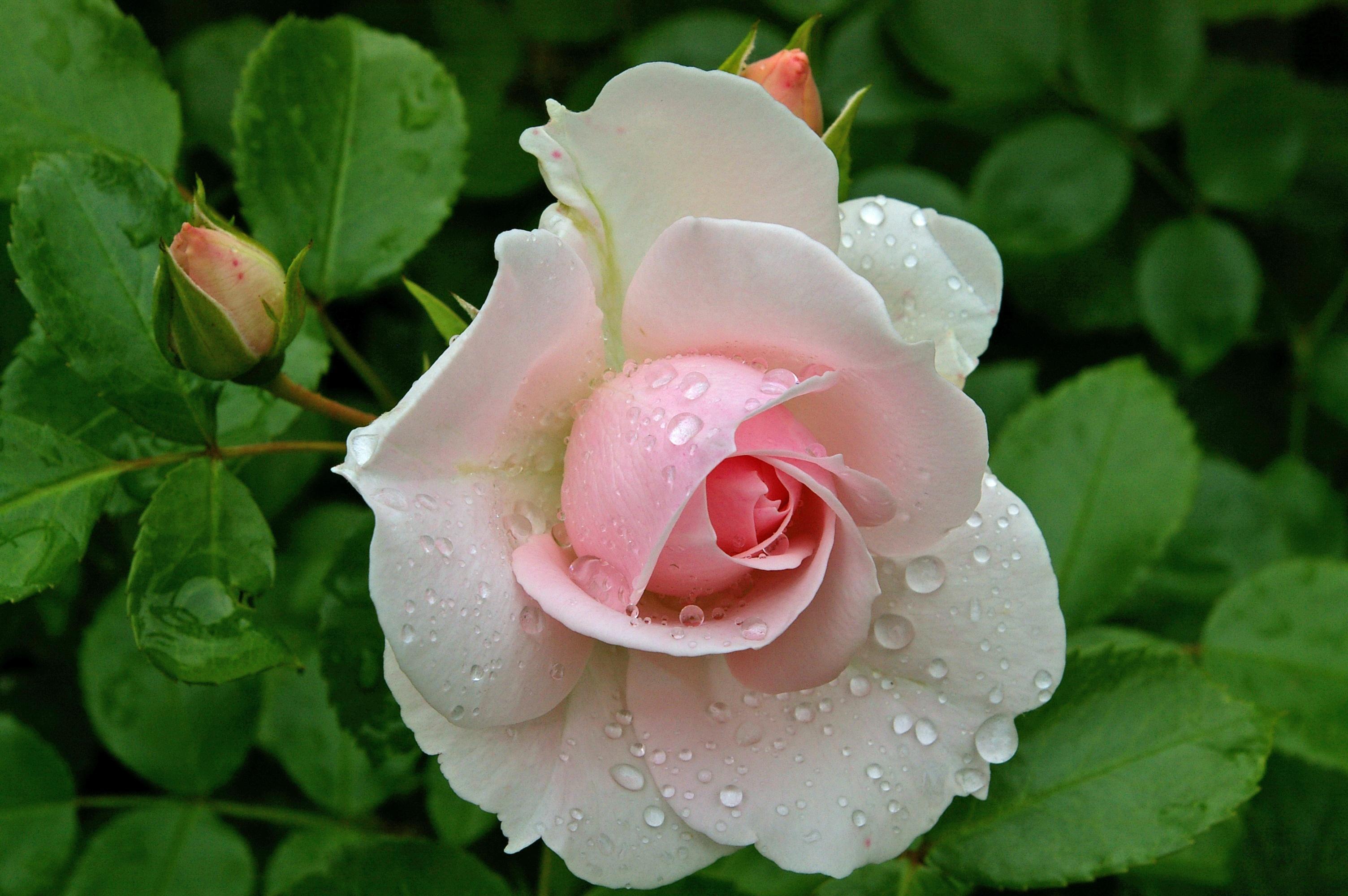 бесплатных картина фото роза в росе лет