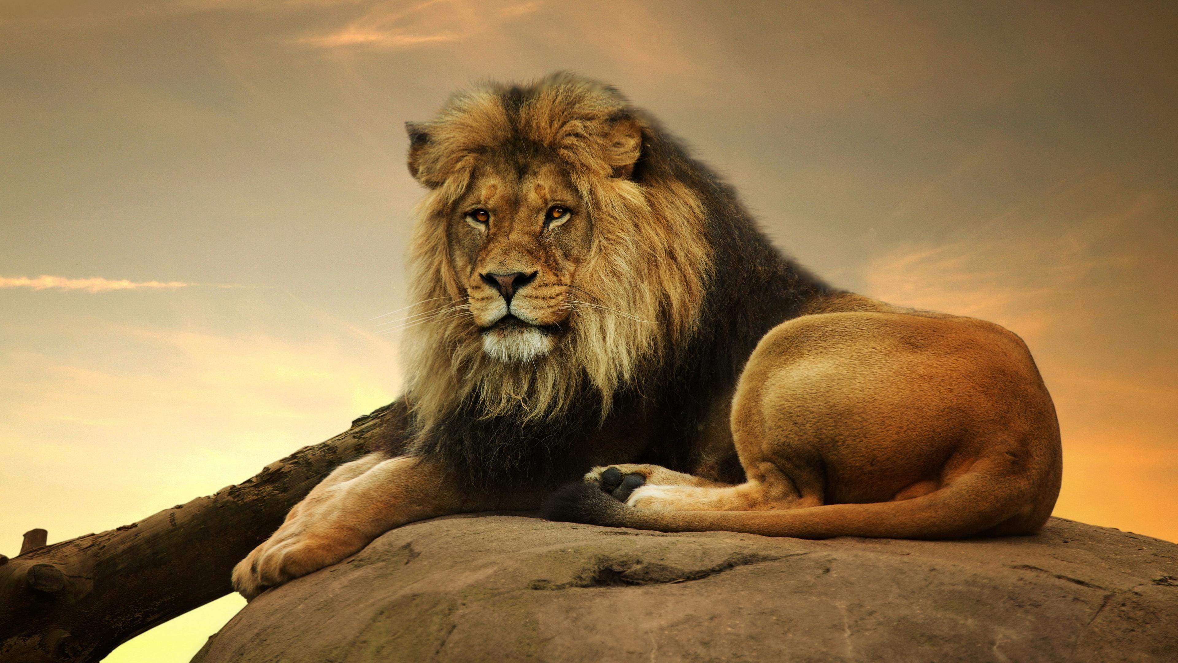 Картинки для рабочий стол львы