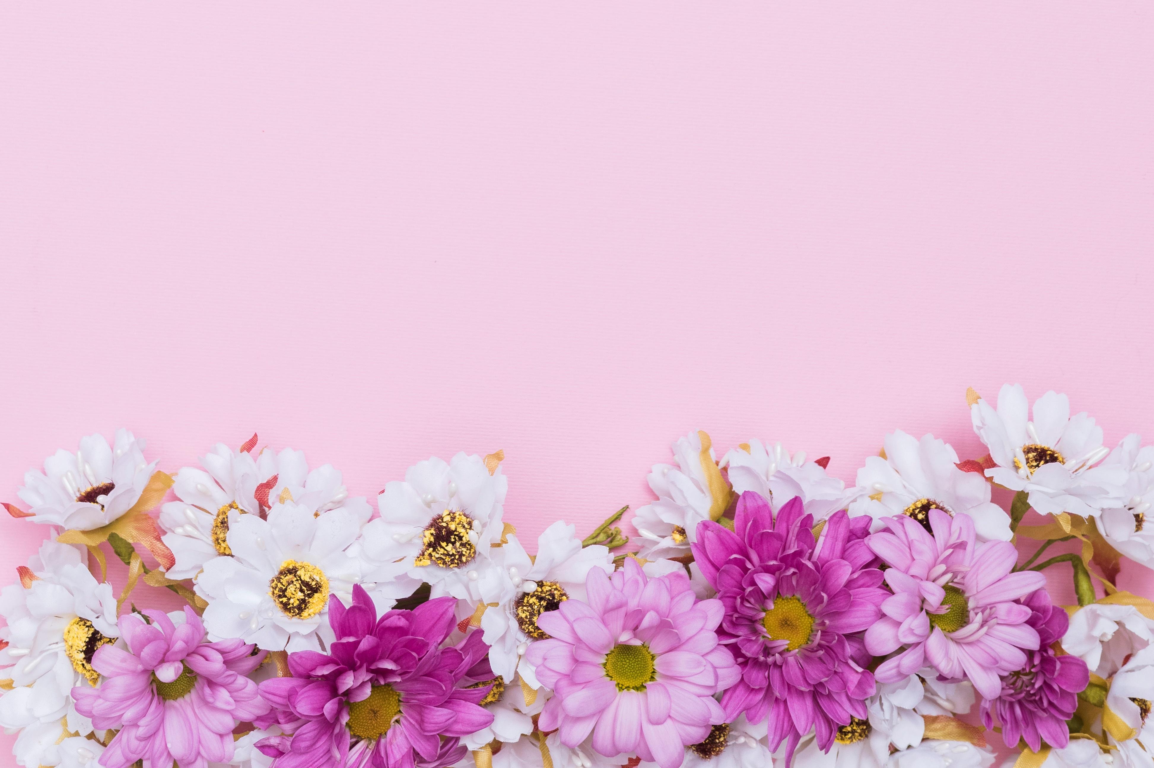 ромашки розовые белые chamomile pink white  № 1038020 без смс